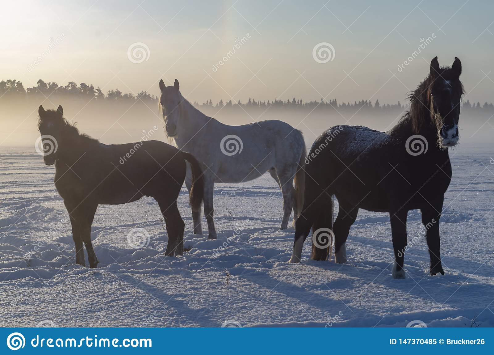 Three horses in the winter fog. A short Northern day.