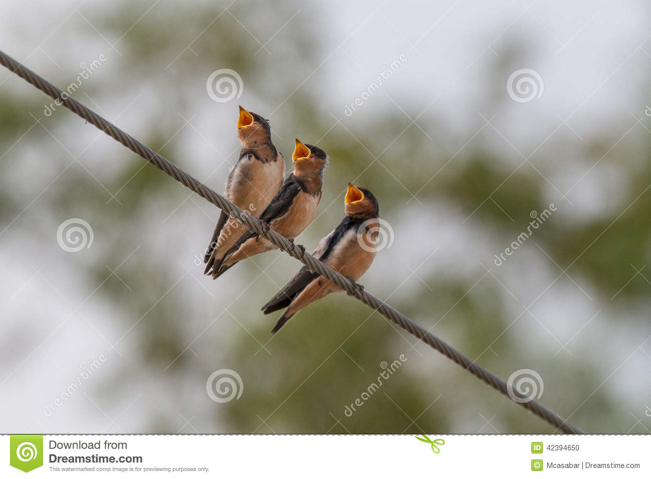 Download Three hungry birds stock photo. Image of mother, birds - 42394650