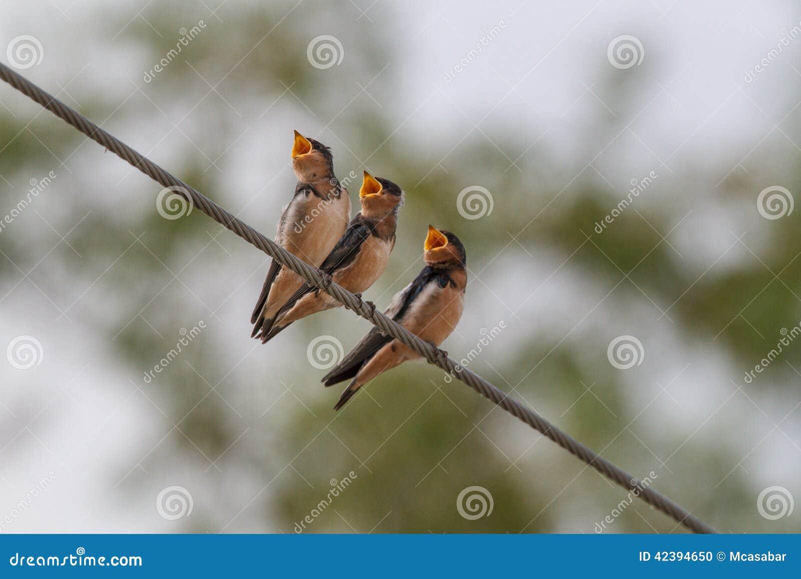 Three hungry birds