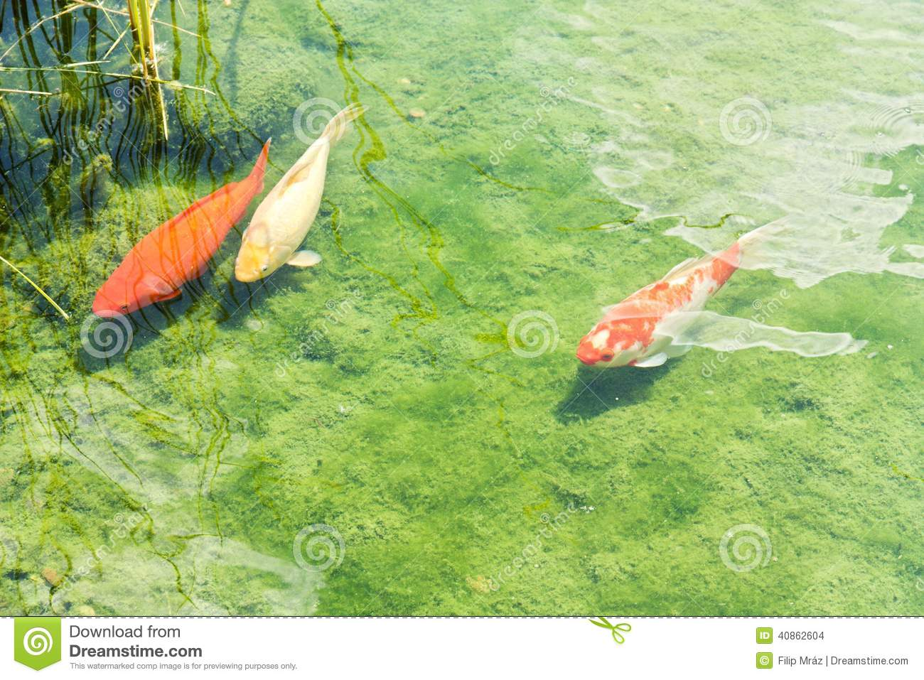 Three koi carp stock photo image of nishikigo asia for Carp fish pond