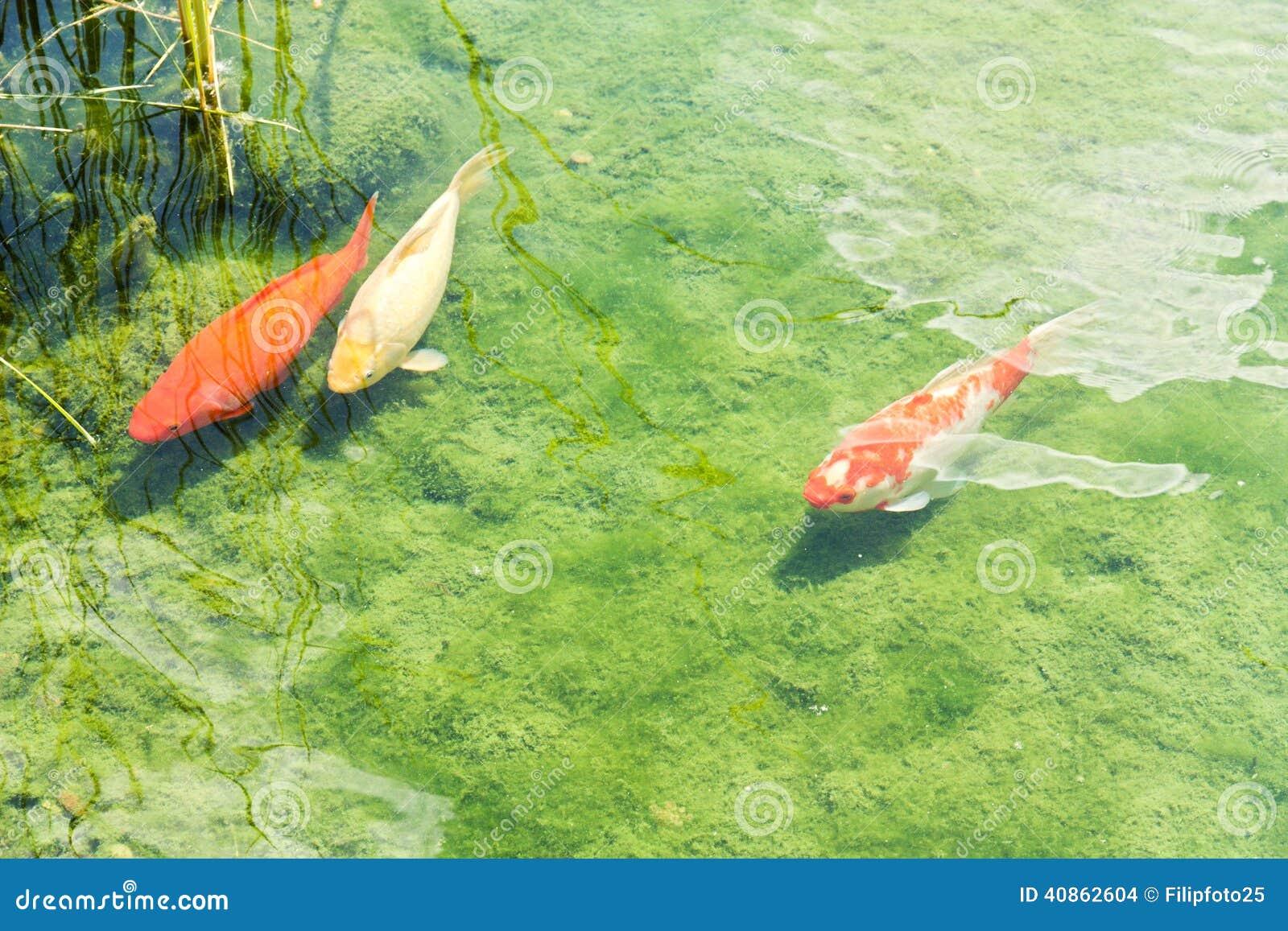 Three koi carp stock photo image 40862604 for Koi pond algae