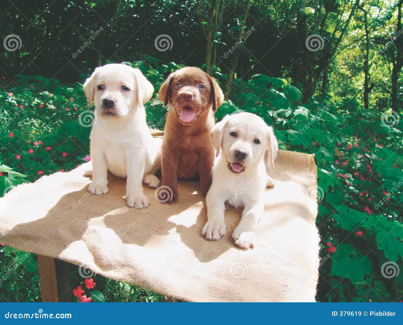 Brown Labrador Puppy And Mother Stock Photo Image Of Labrador