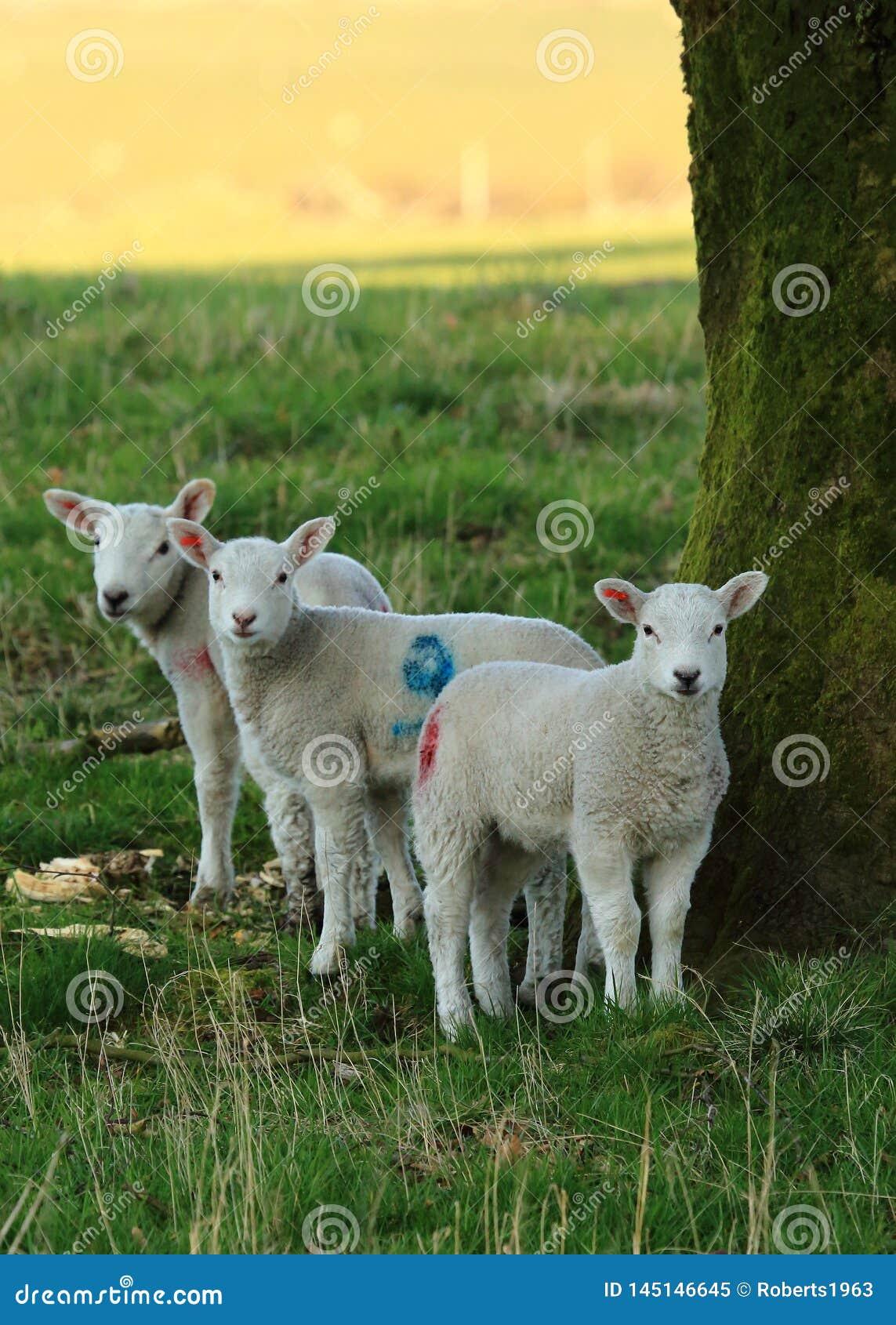 Three lambs standing under a tree