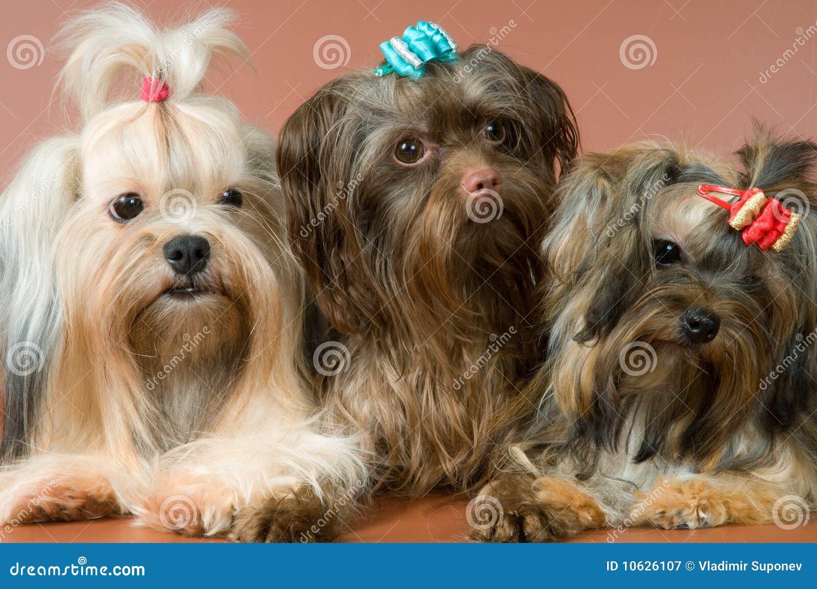 Three lap-dogs in studio