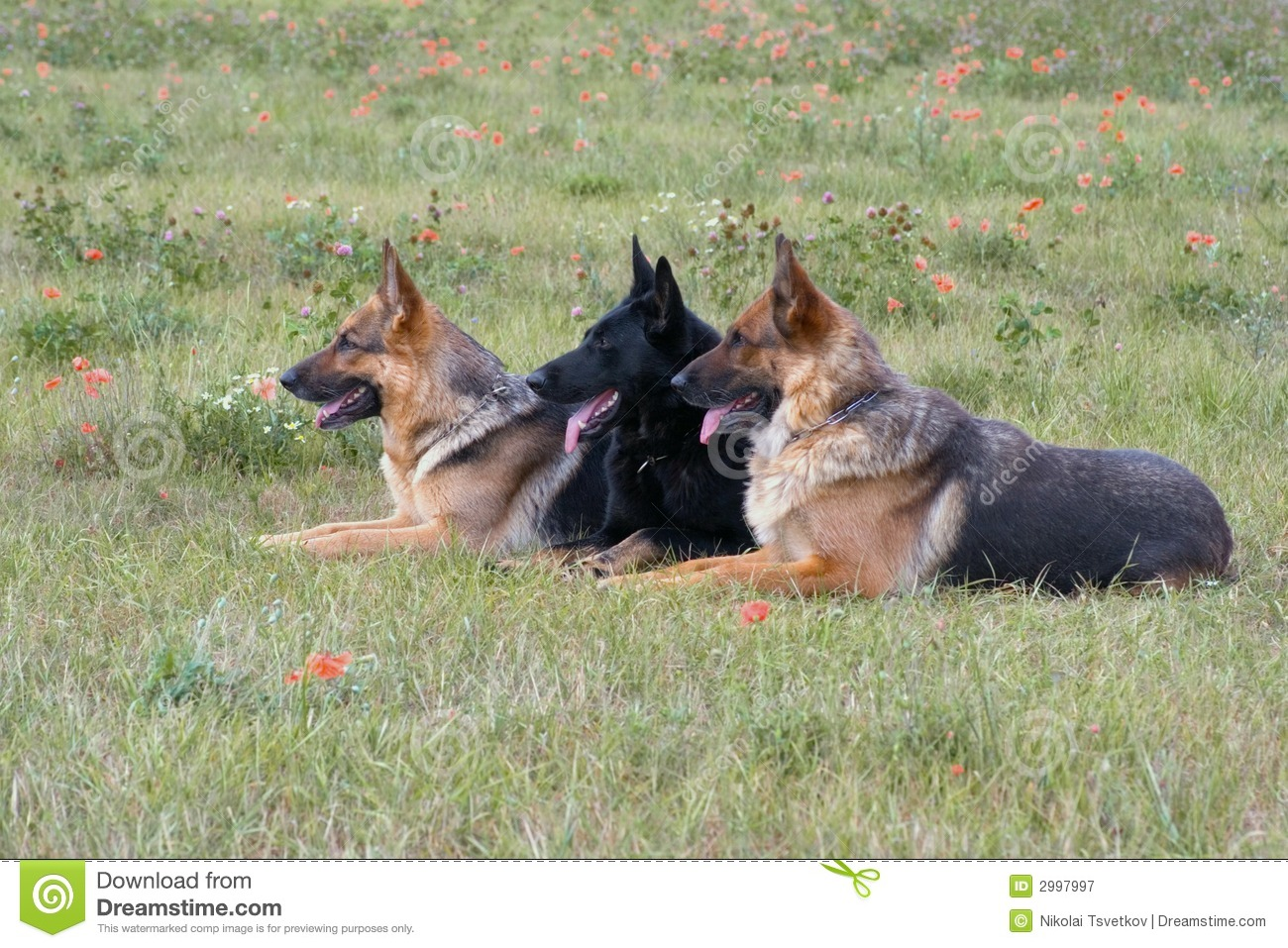 Three laying German shepherds