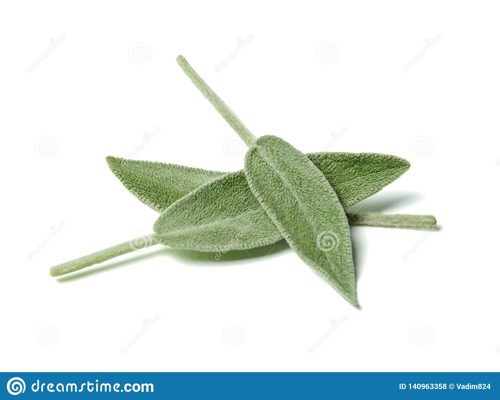 Three leaves of fragrant sage close up. White isolated background.Top view.