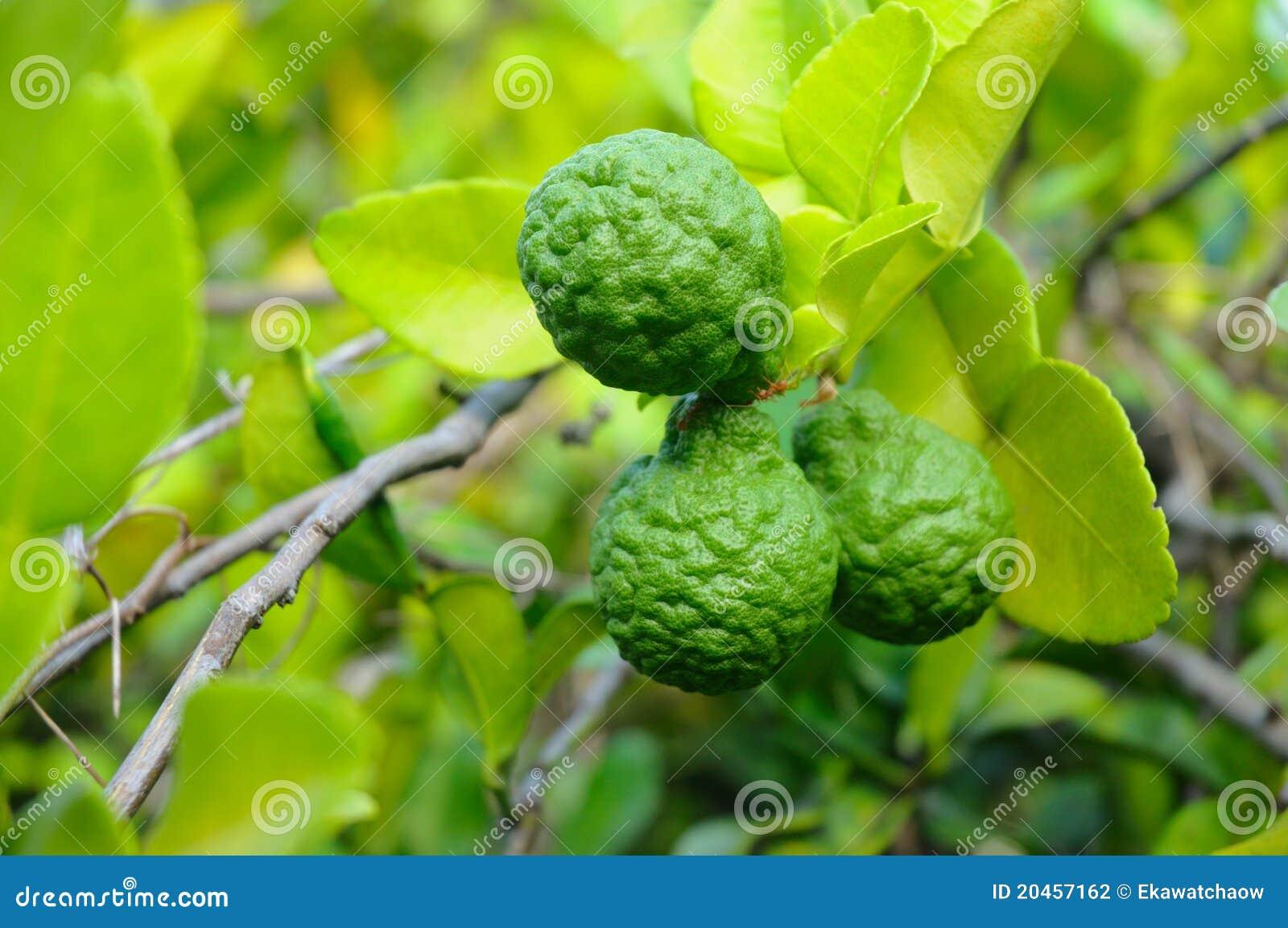 Three Leech Lime Fruits Stock Photography - Image: 20457162 Leeches Fruit Tree
