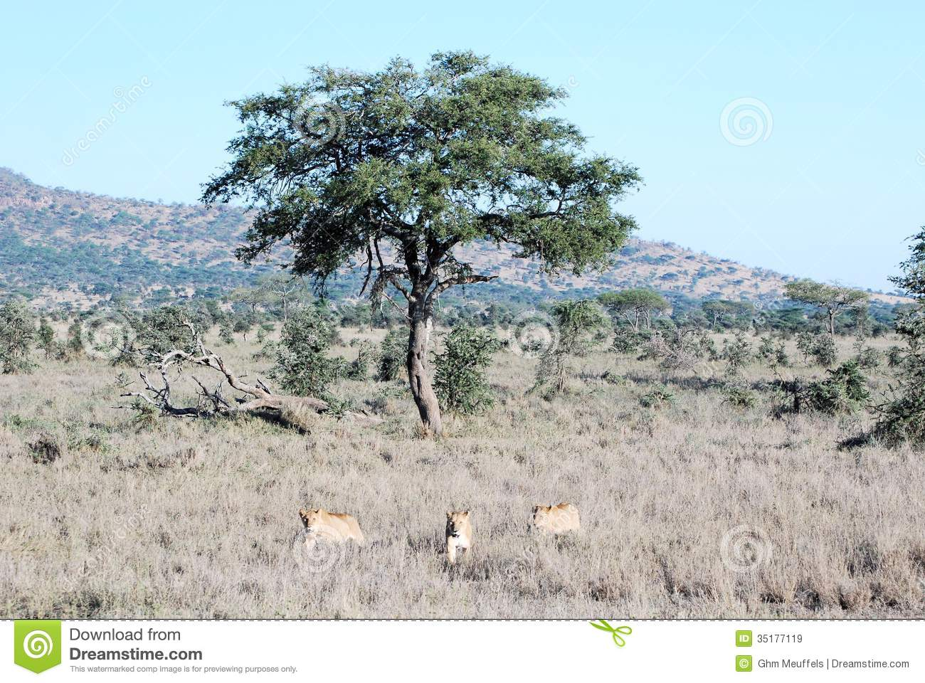 Three lionesses receding in dry grass from a tree