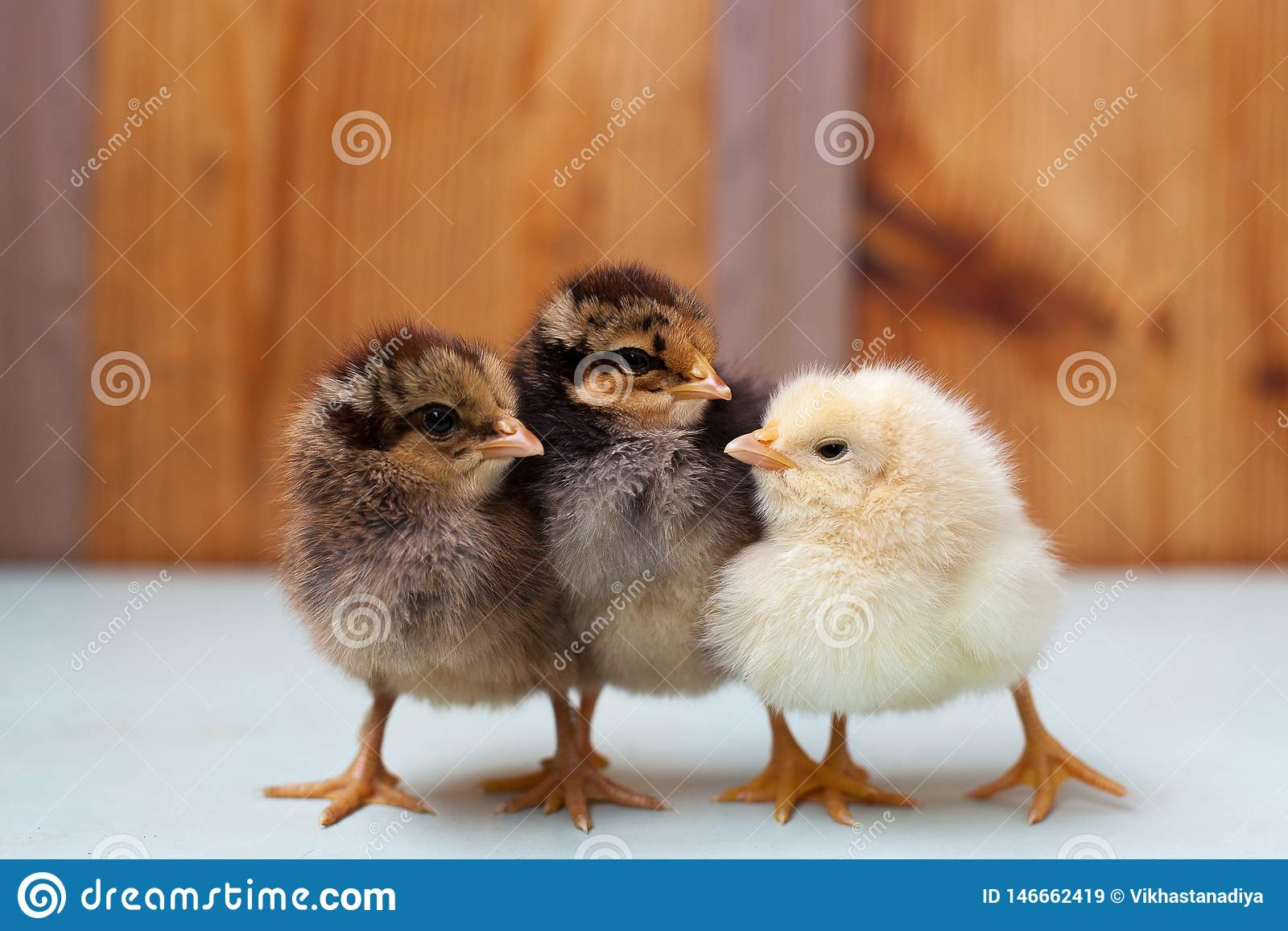 Three little chickens, two chicken and a cockerel