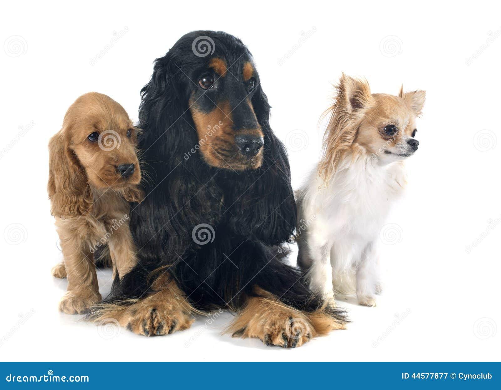 Three little dogs