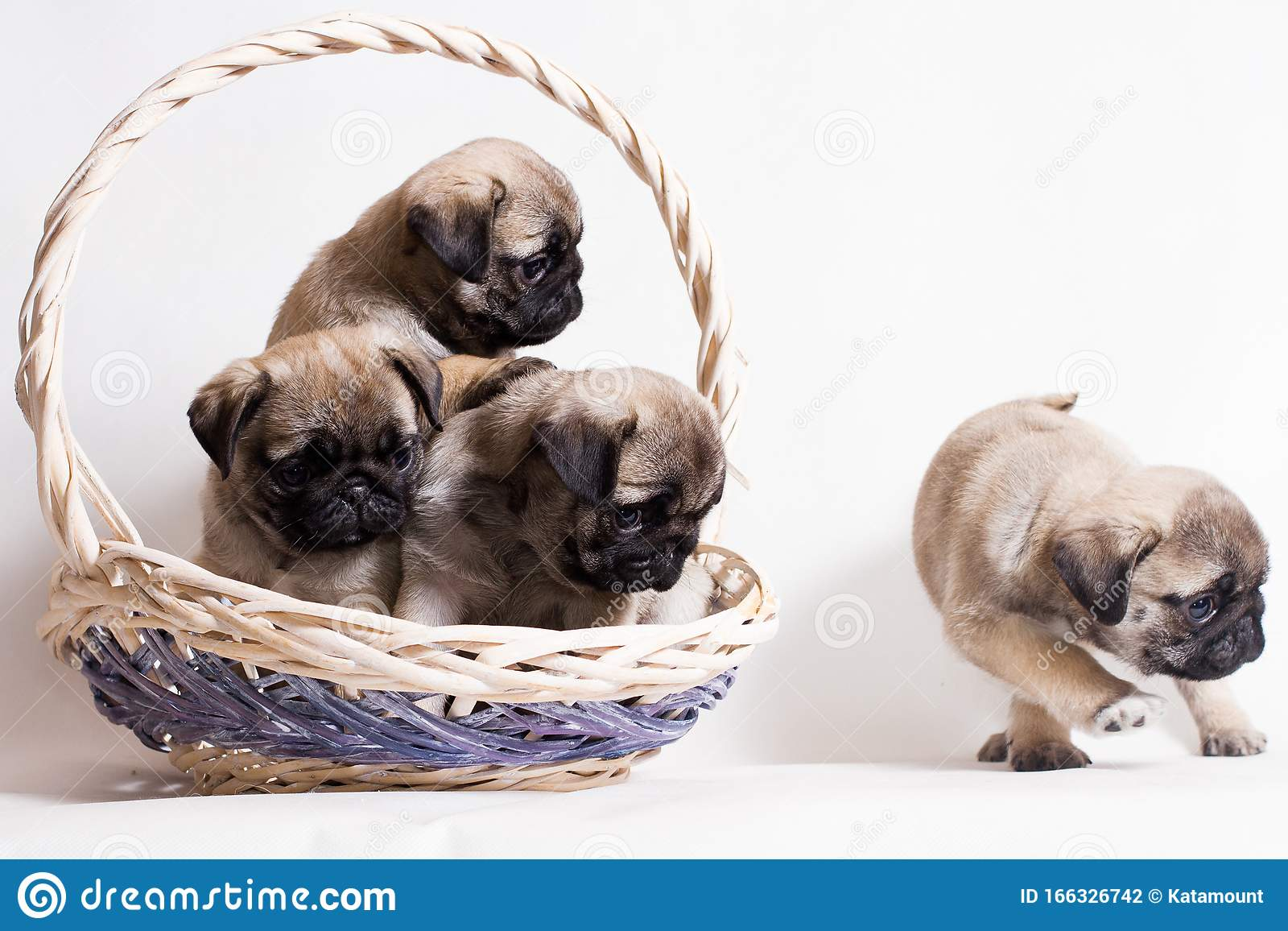 Three Little Fawn Pug Puppies Sit In A Basket And One Runs Away Stock Photo Image Of Branch Basket 166326742