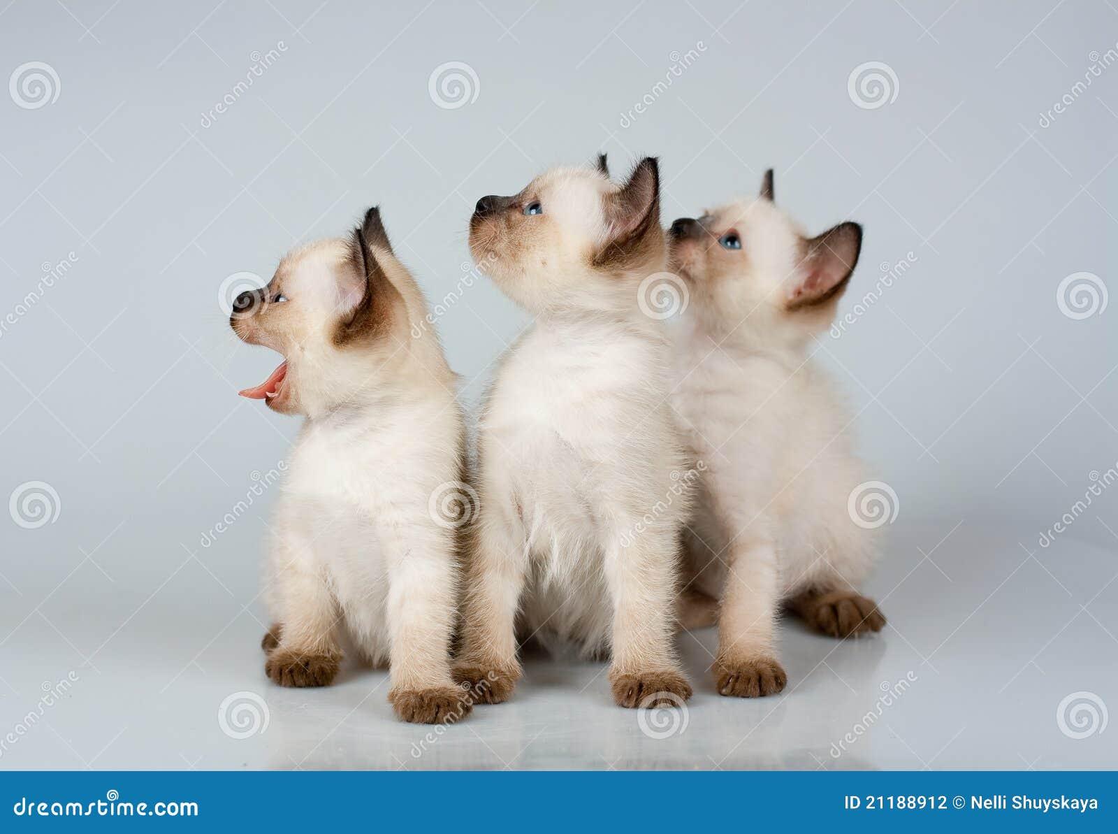 Three little kittens Siamese