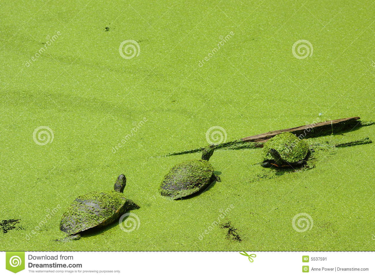 Three Little Turtles Covered in Green
