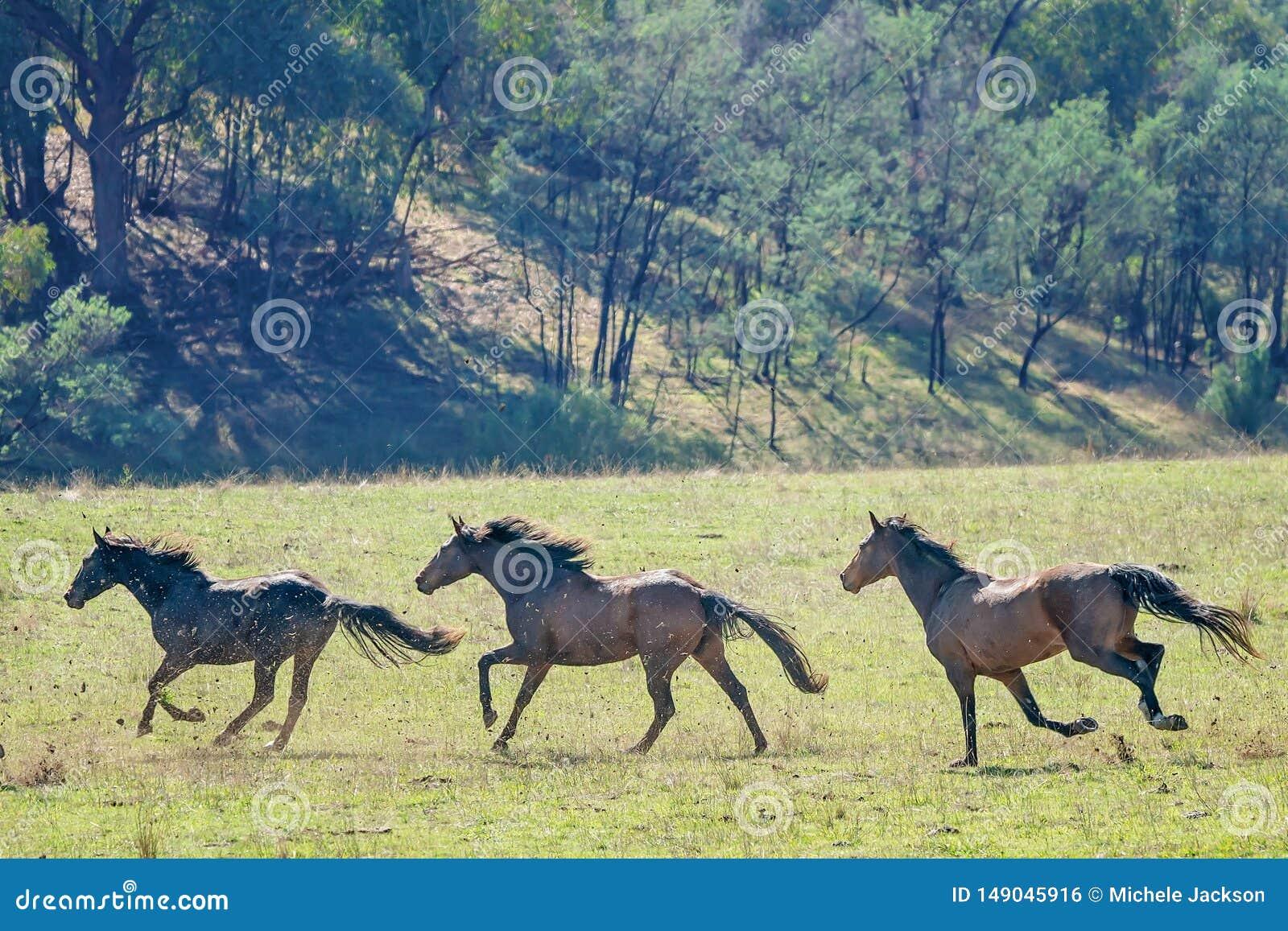 Three Galloping Wild Horses Stock Photo Image Of Horse Galloping 149045916