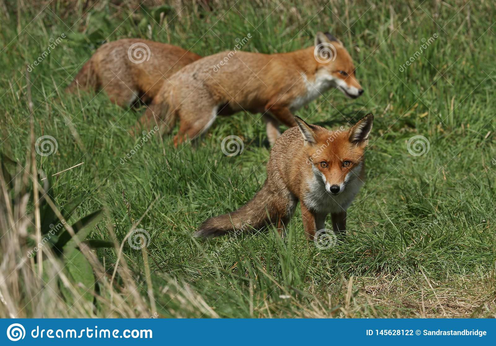 Three magnificent wild Red Fox Vulpes vulpes hunting for food to eat in the long grass.