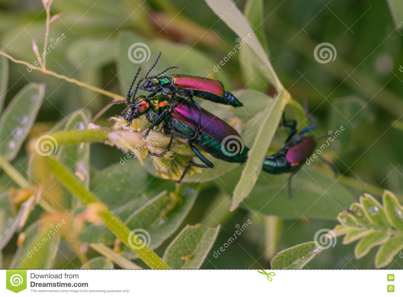 Three Mating Blister Beetles