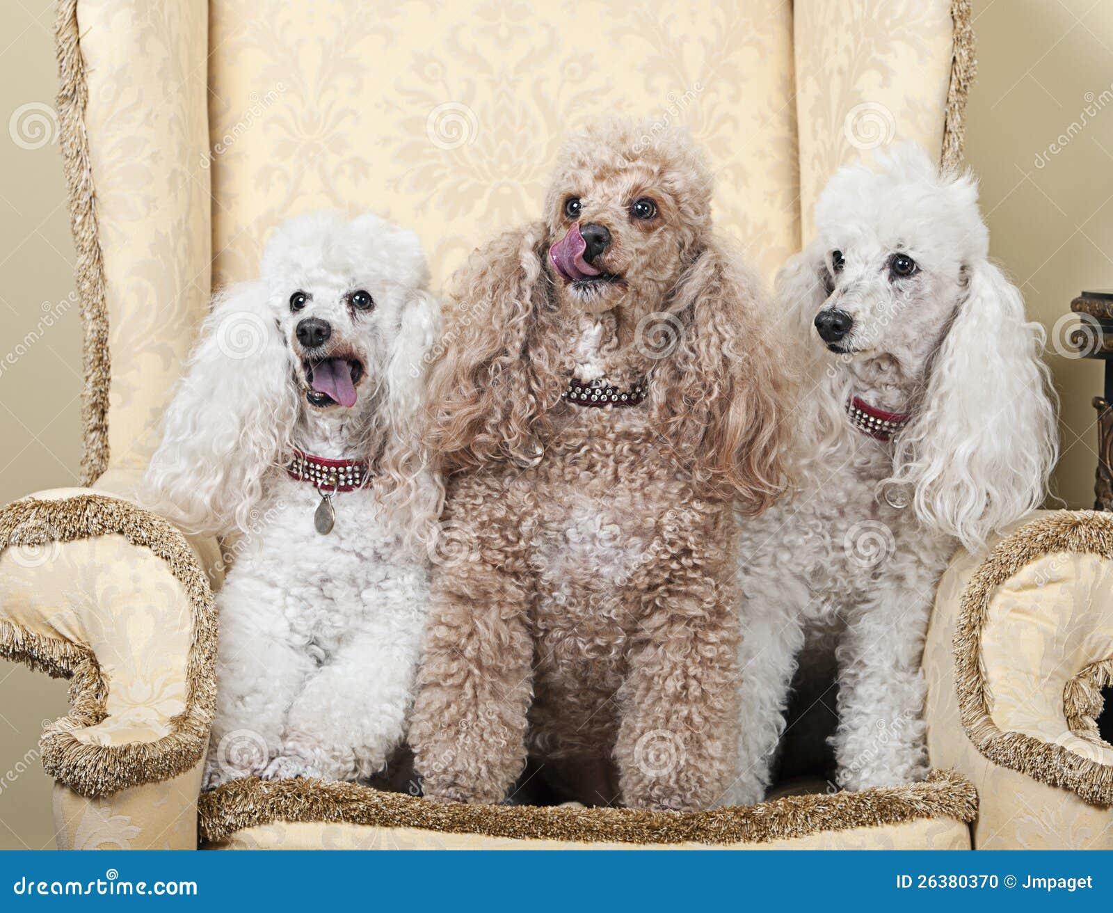 Z Poodles French Poodles Royalty...