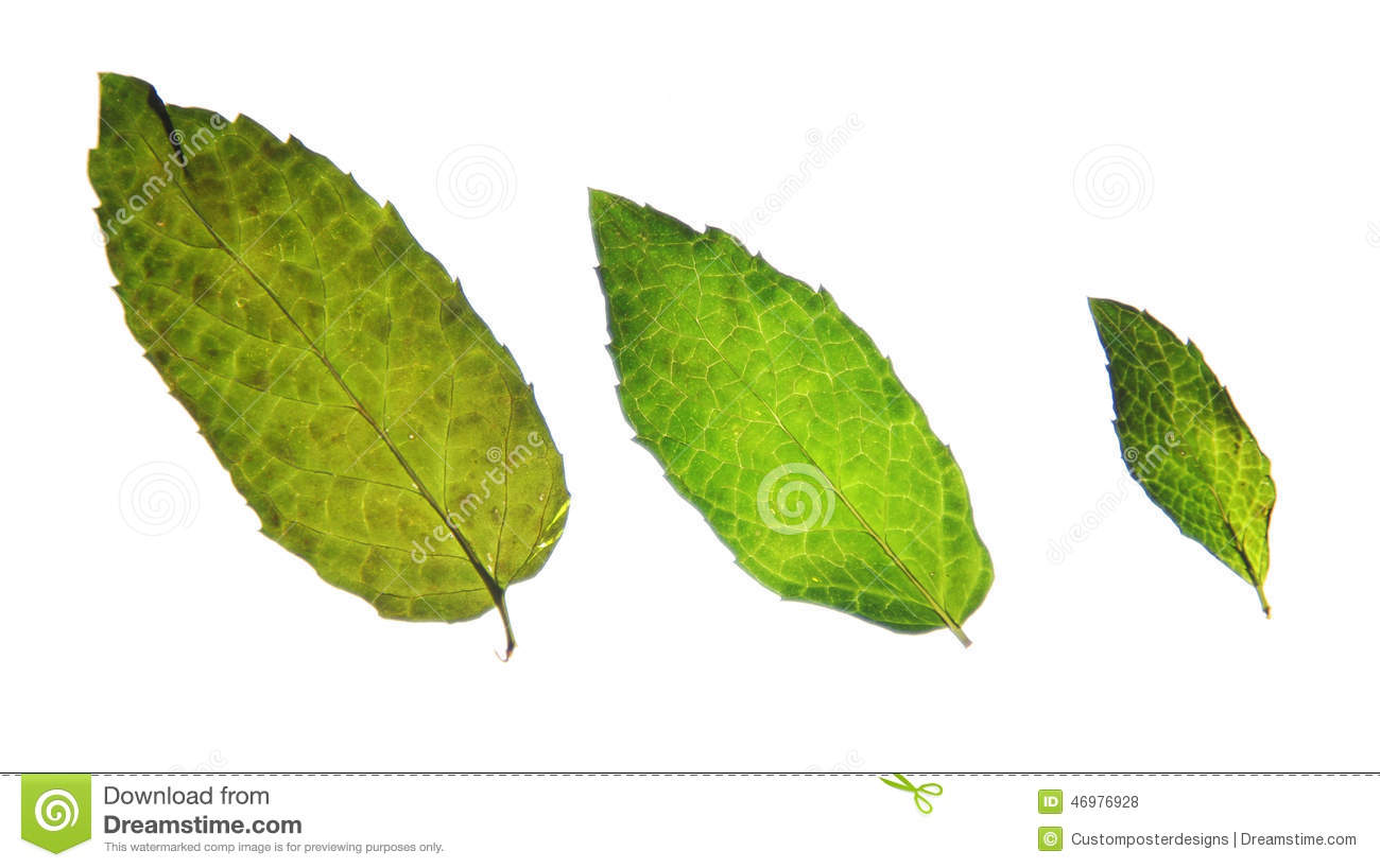 Mint Leaves Images amp Stock Pictures Royalty Free Mint