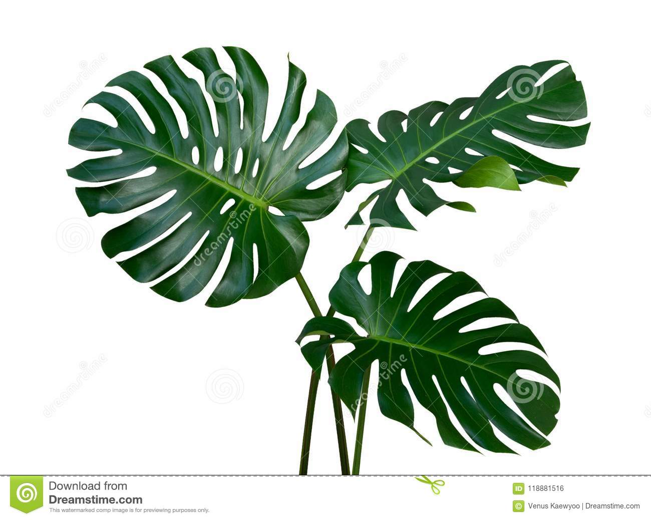 Three Monstera plant leaves, the tropical evergreen vine isolated on white background, path