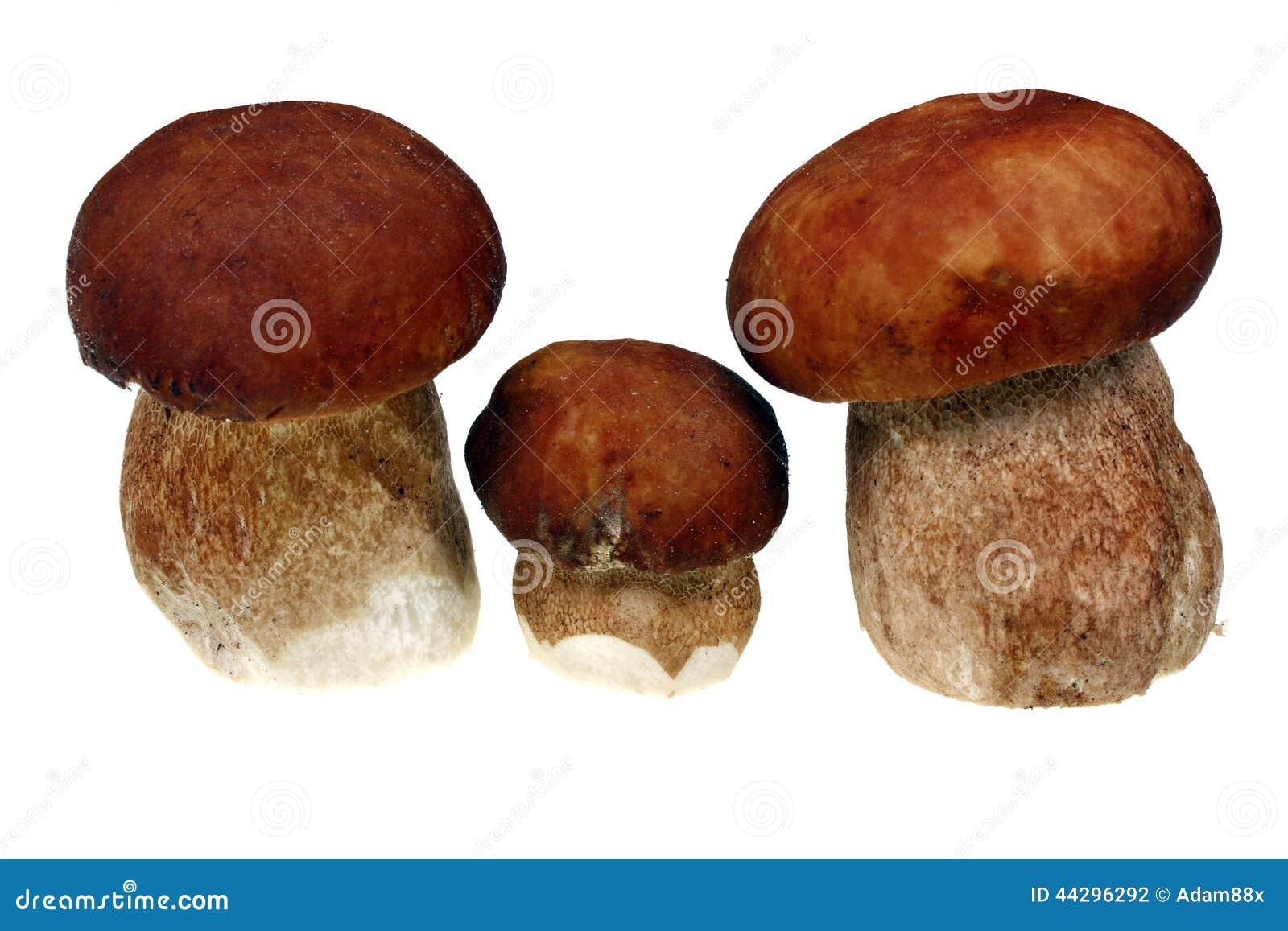Three mushroom boletus