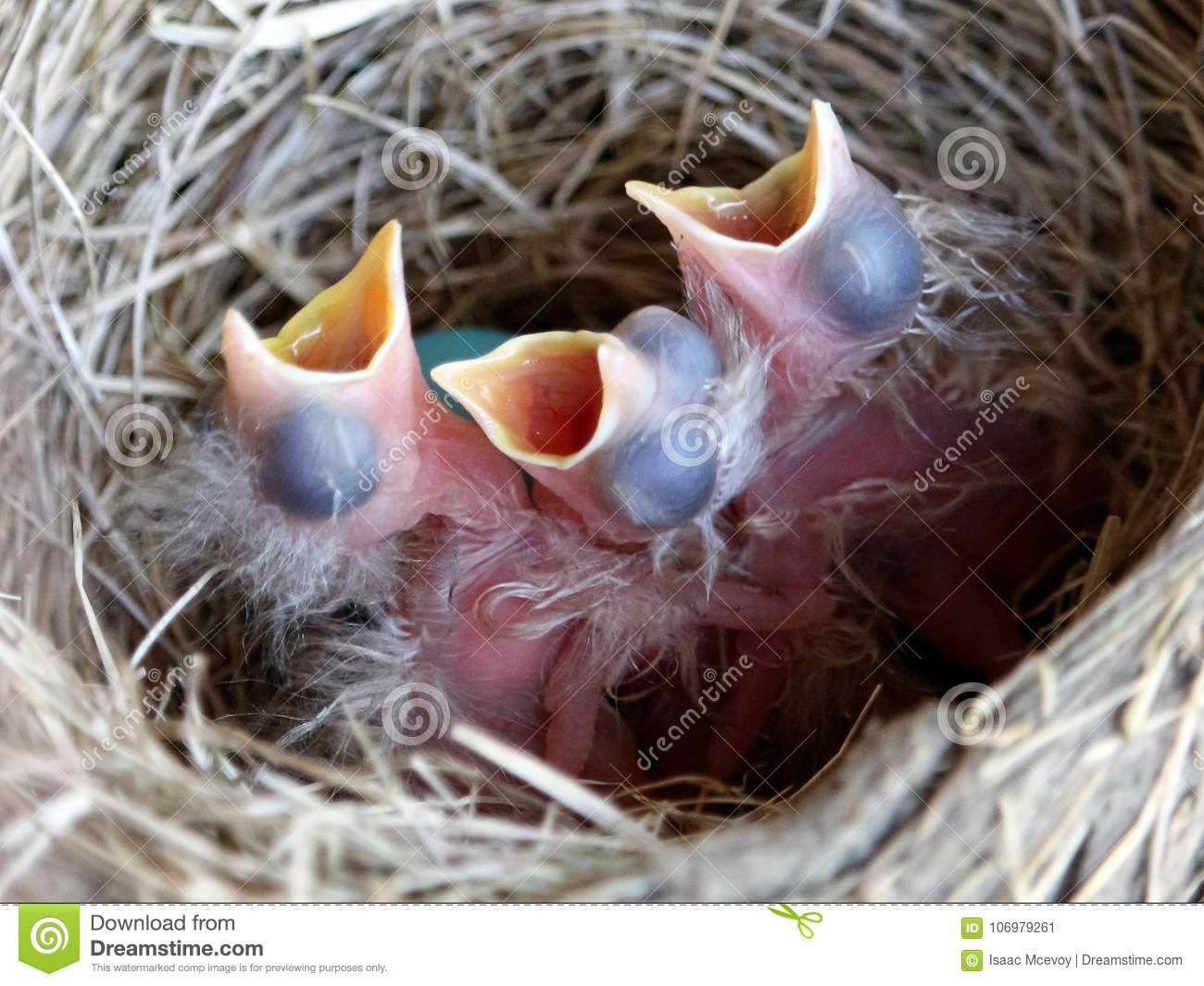 Newly Hatched American Robin Chicks