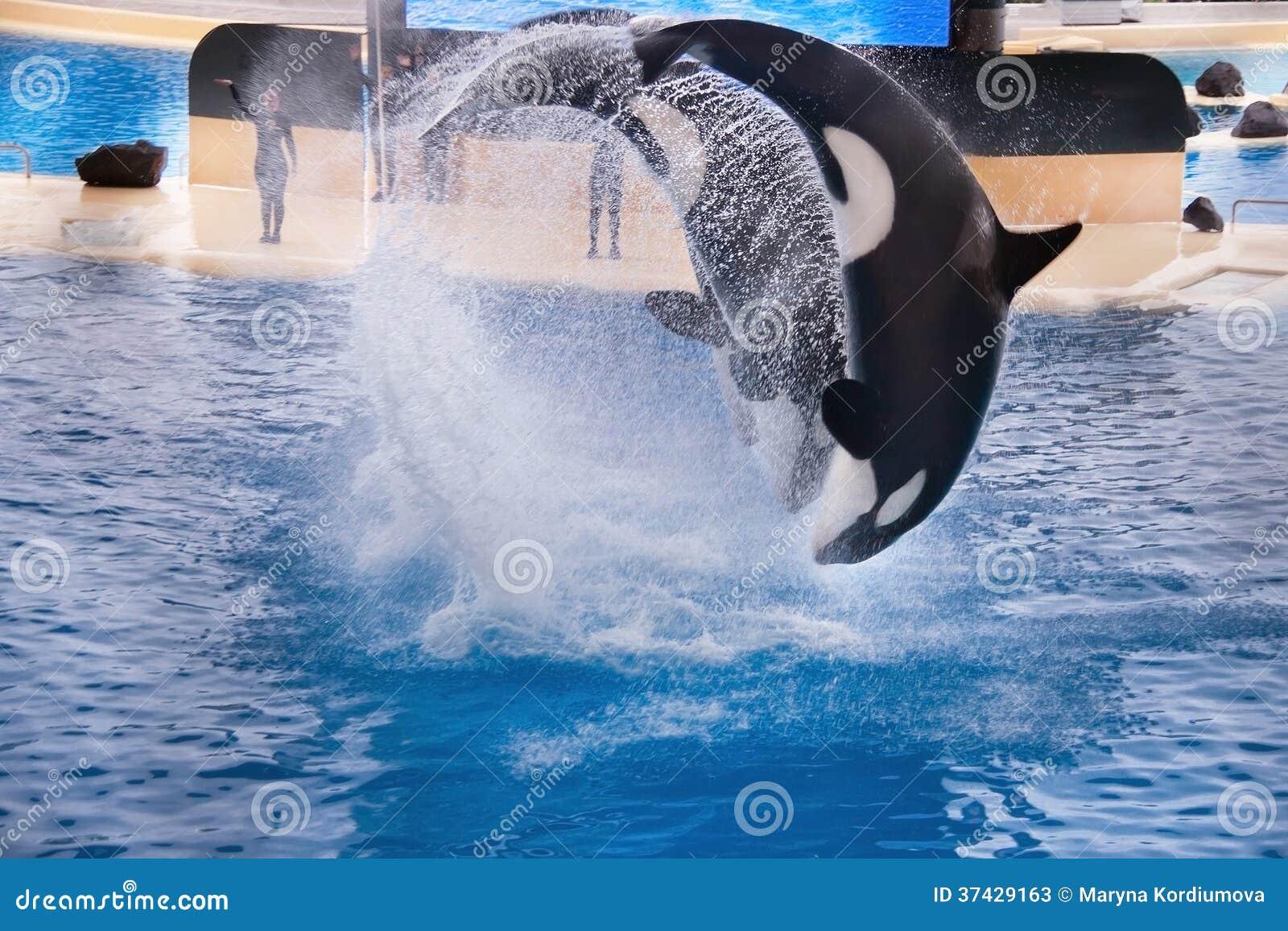 Three orcas (whales)