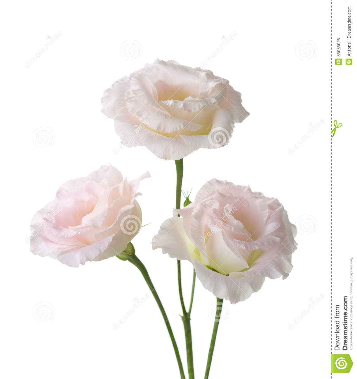 Three pale pink flowers stock image image of elegance 55065025 three pale pink flowers mightylinksfo
