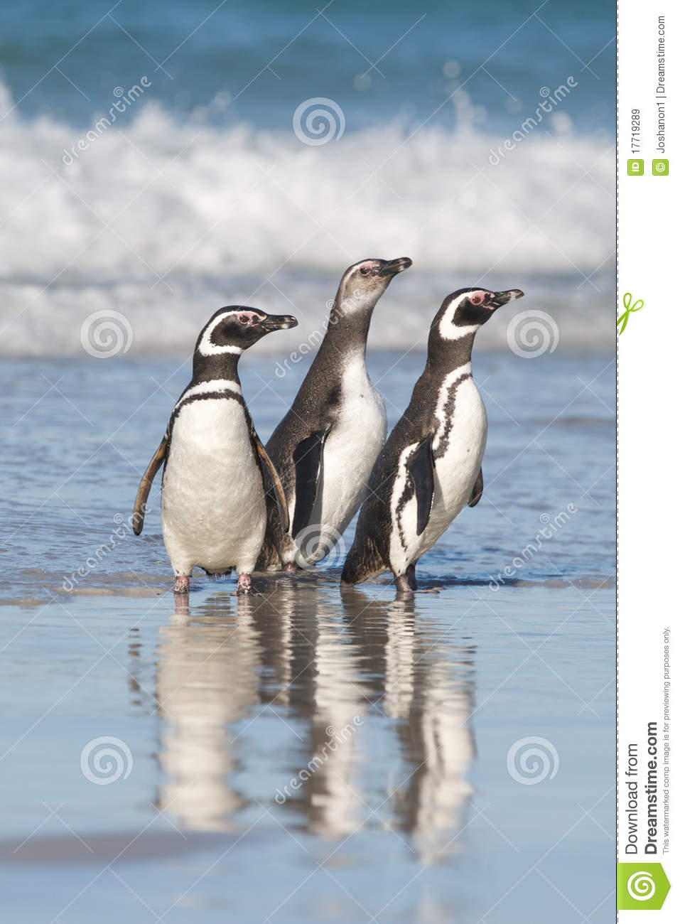 Download Three Penguins stock image. Image of sunny, focus, standing - 17719289