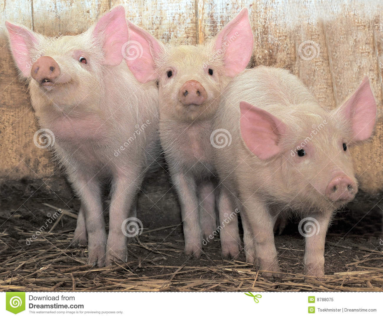Three Pigs Royalty Free Stock Photo - Image: 8788075