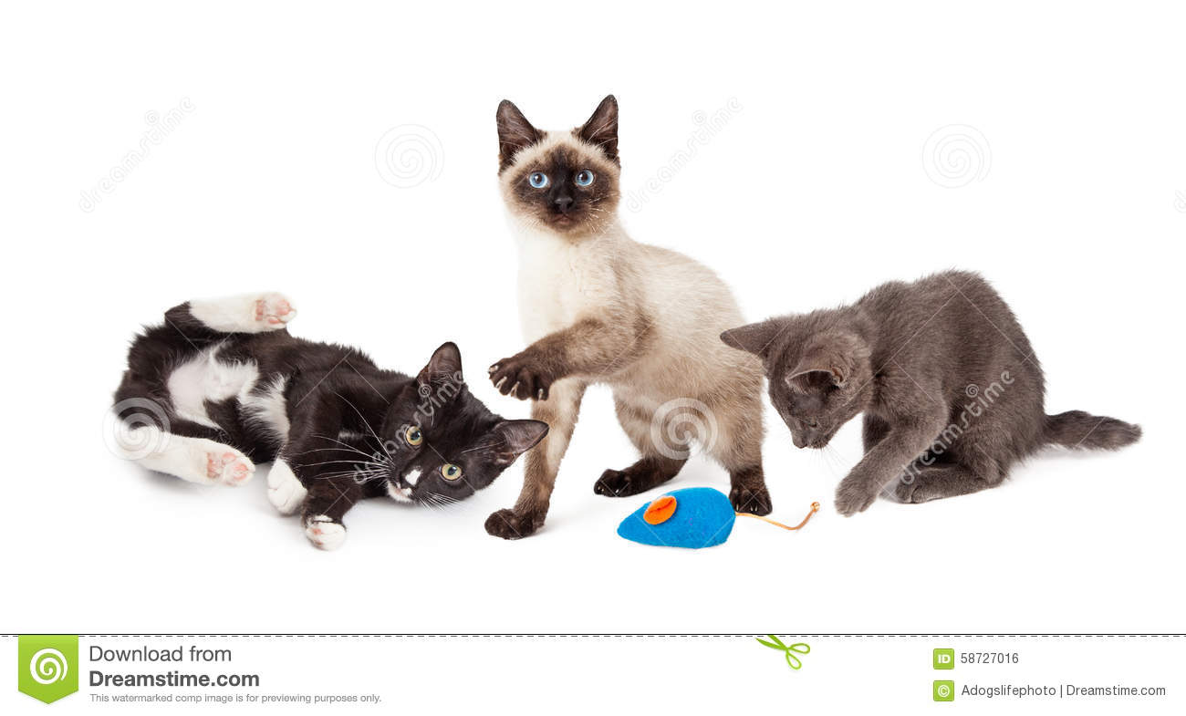 Three Adorable Little Kittens Playing Together On A White Studio Background