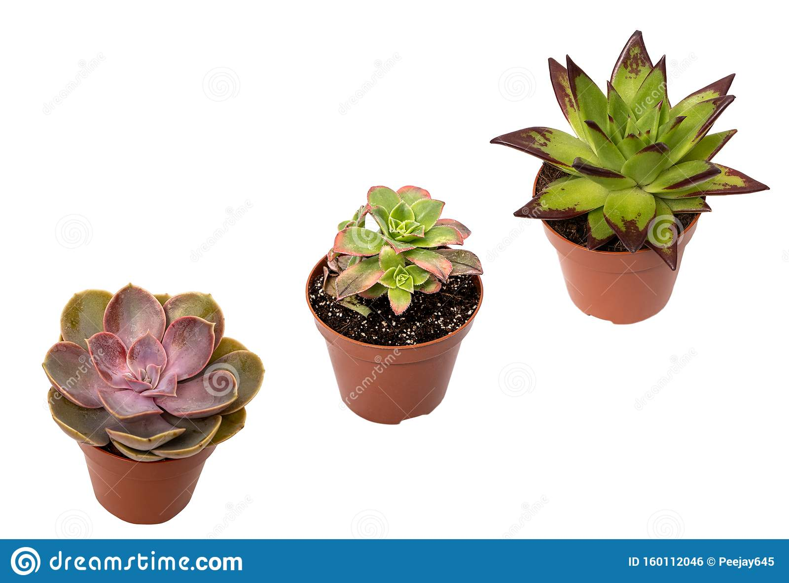 Three Potted Succulent Plants Stock Photo Image Of Background Stillife 160112046