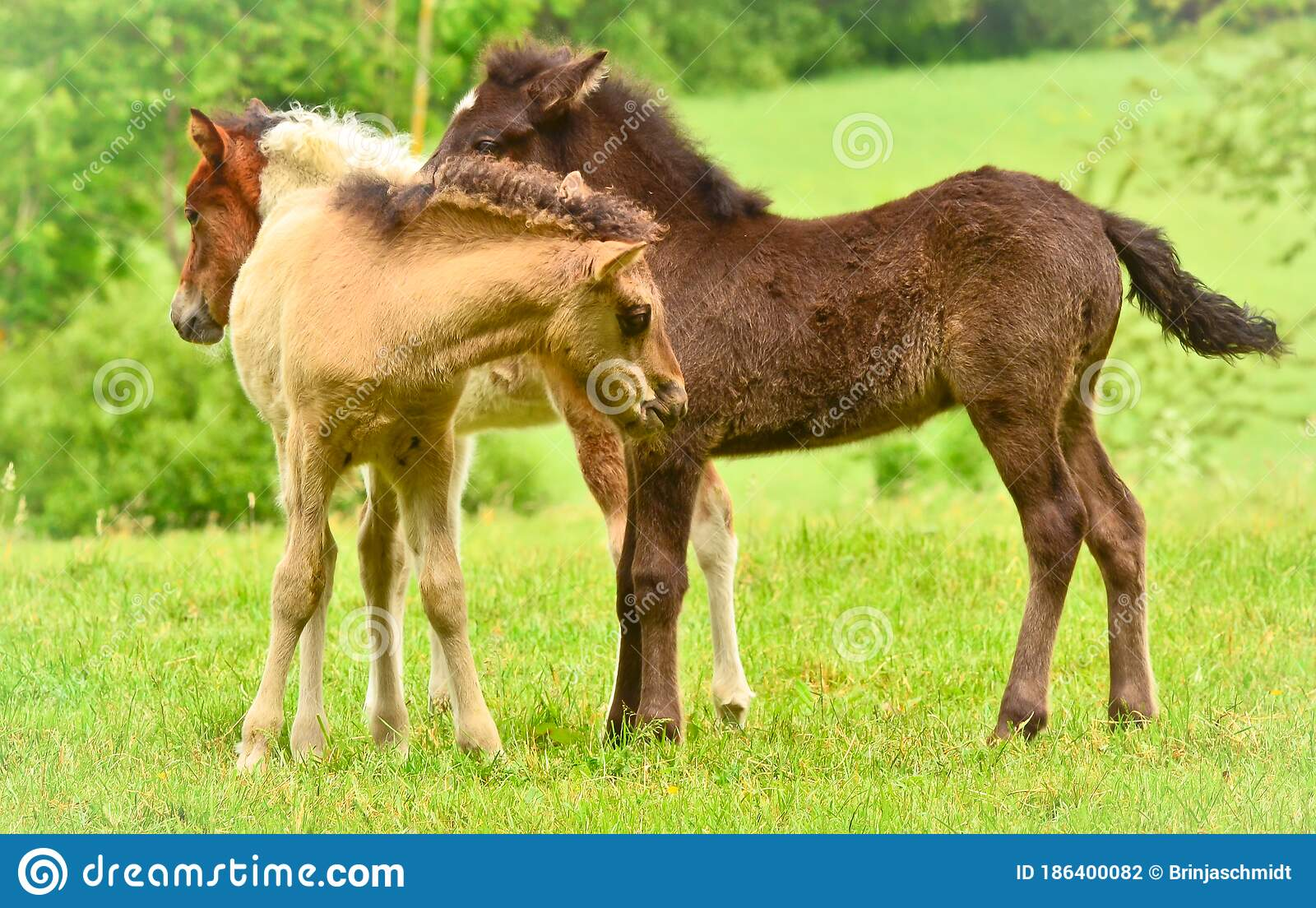 Three Pretty And Cute Foals A Black One A Dun Horse And A Chestnut Icelandic Horse Foals Are Playing And Grooming Together I Stock Photo Image Of Breed Herd 186400082