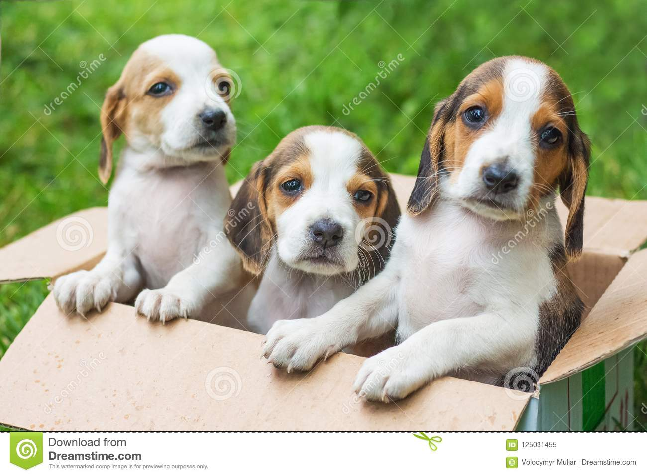 Three Puppies Are Estonian Hounds In A Cardboard Box  Sale Of Pu