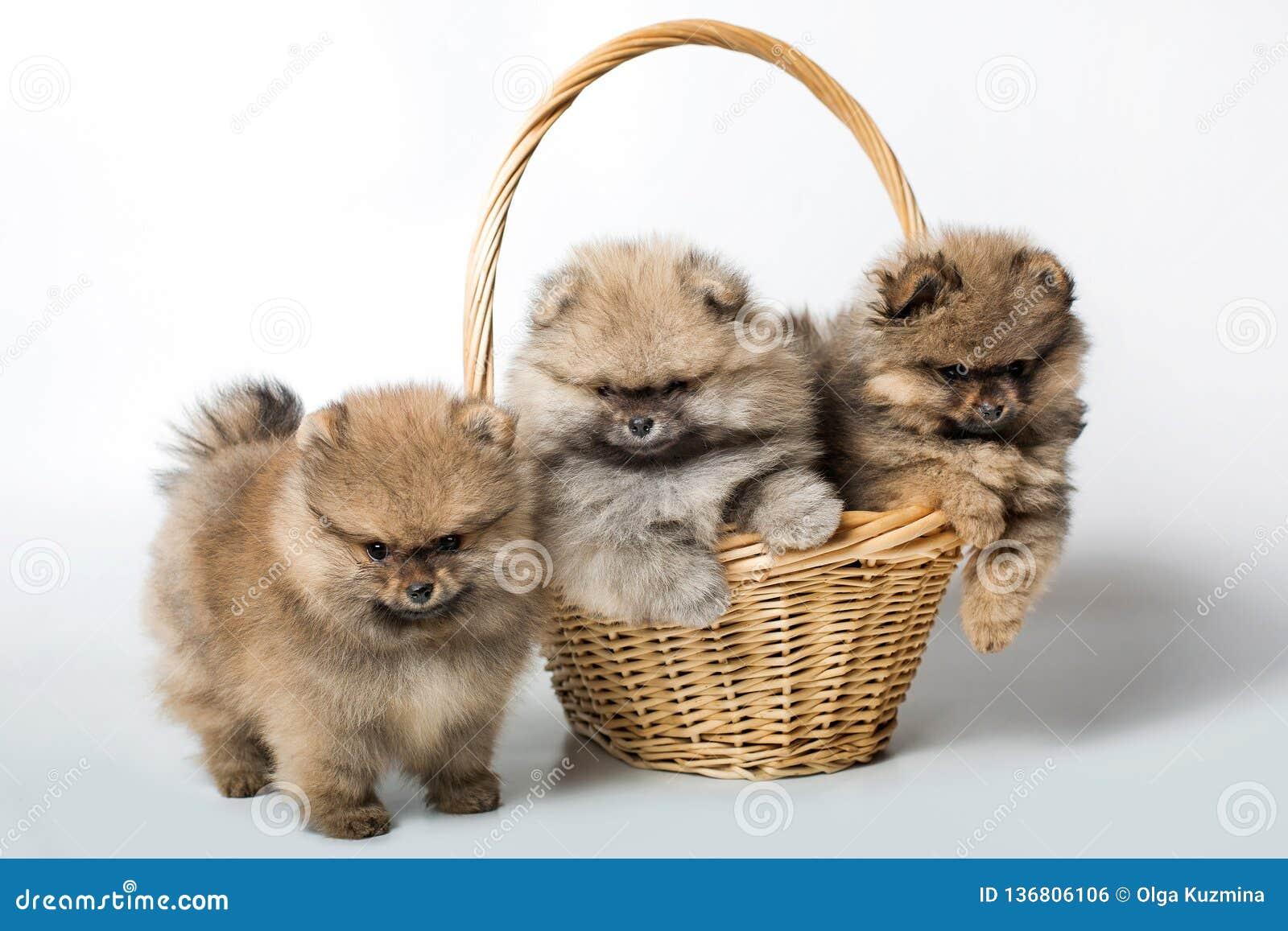 Three puppy dog in basket