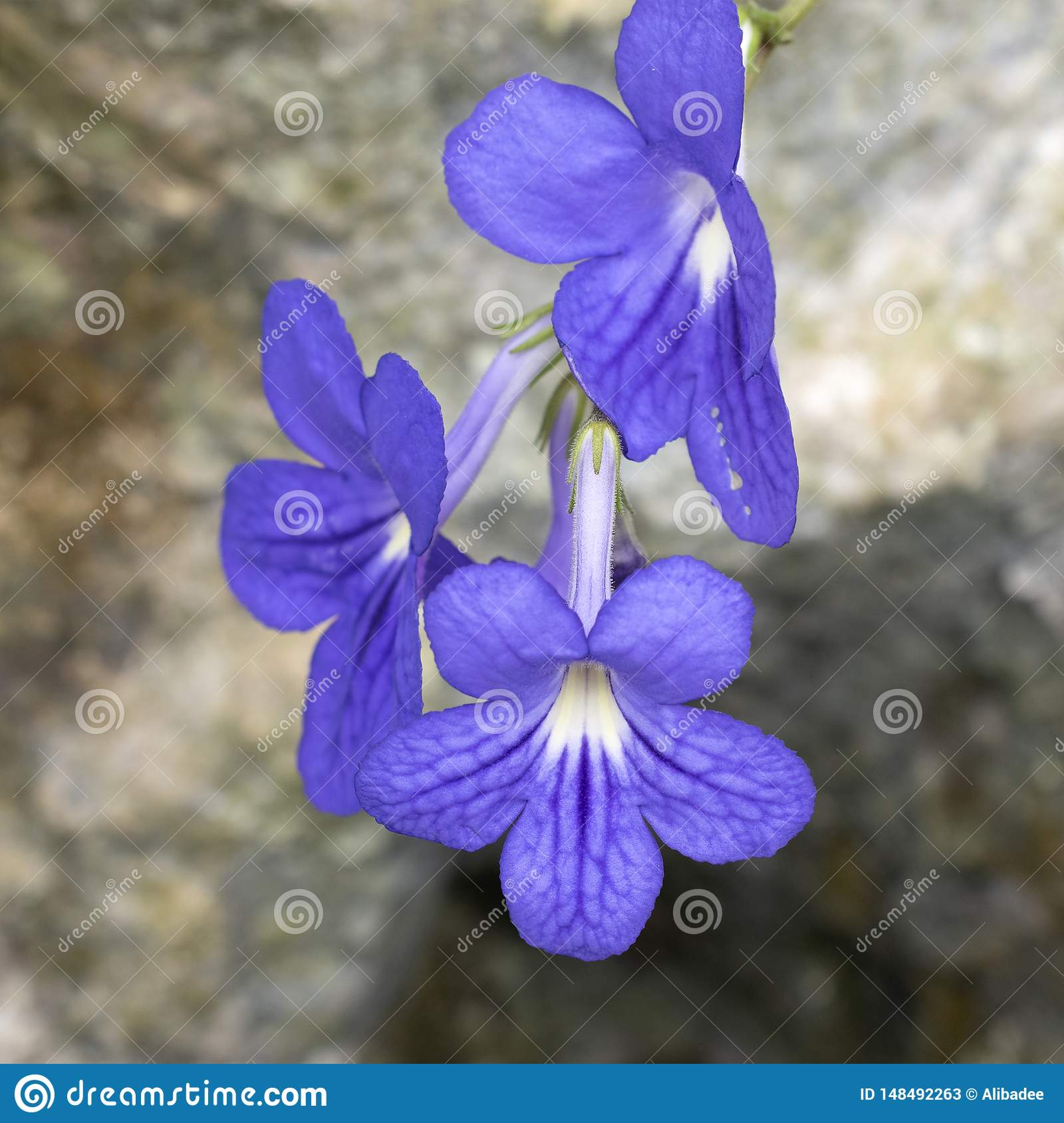 Purple flower with rock background