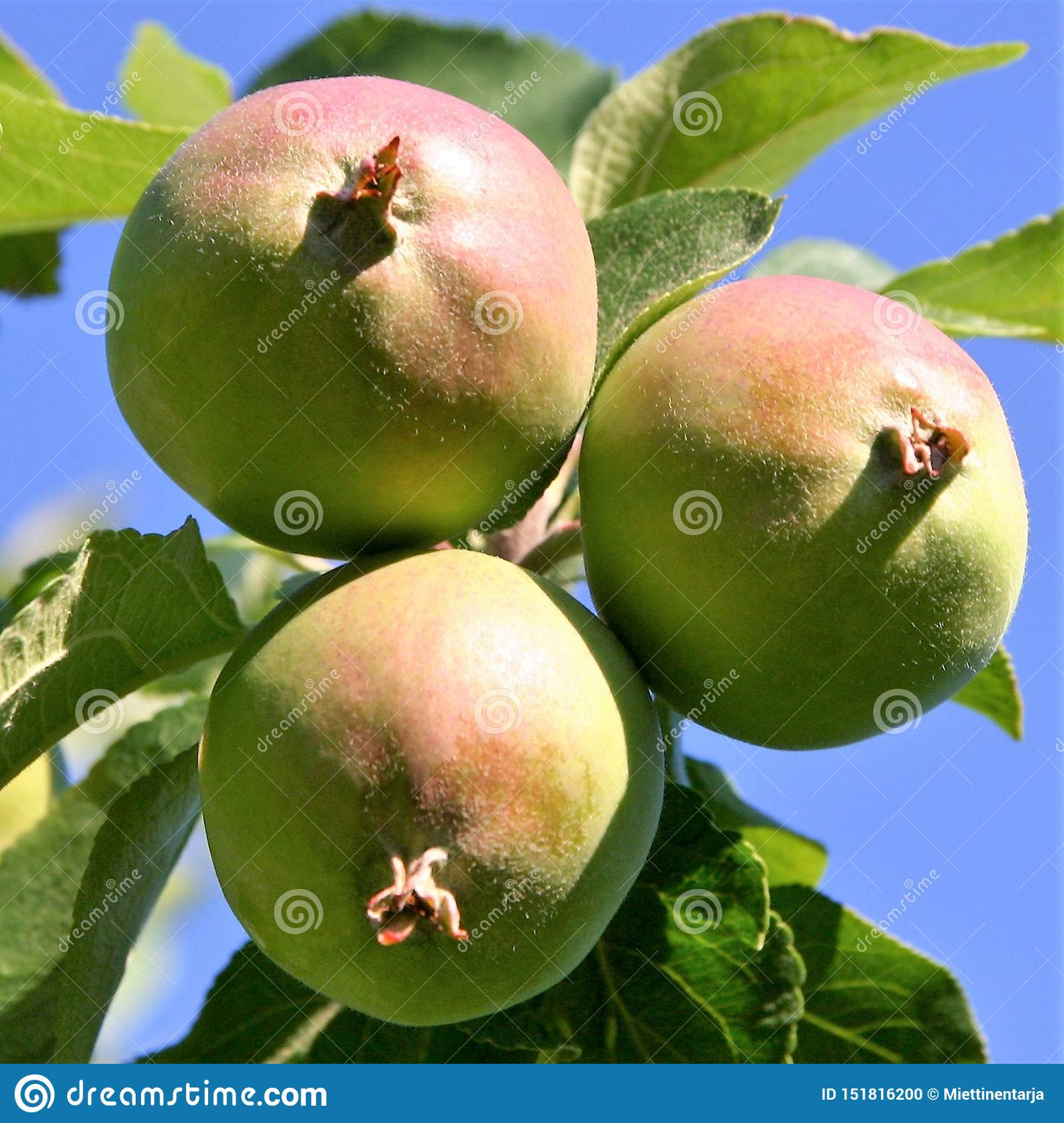 Three red and green apples are growing in an apple tree