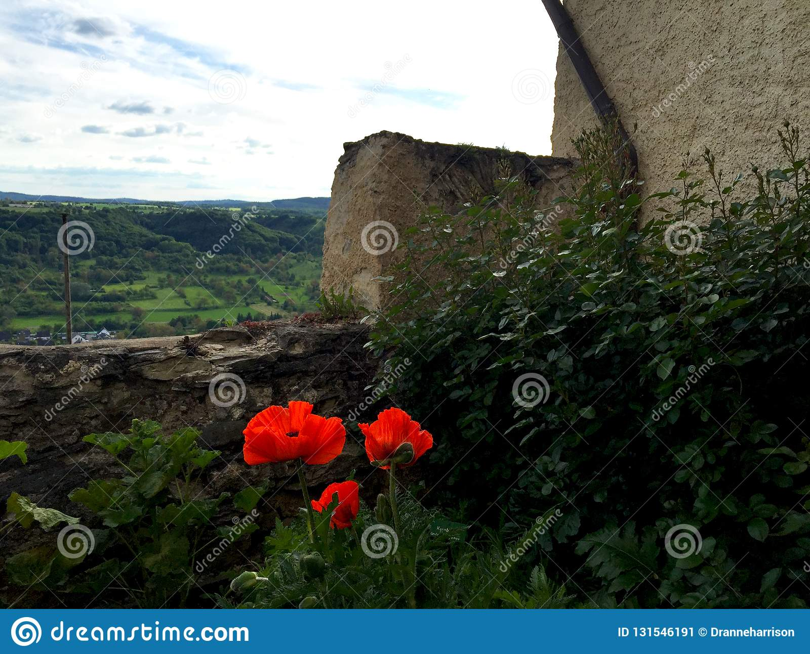 Three red poopies are blooming beside an old stone wall. A village with farmland is in the distance. the sky is blue with white. Clouds stock image