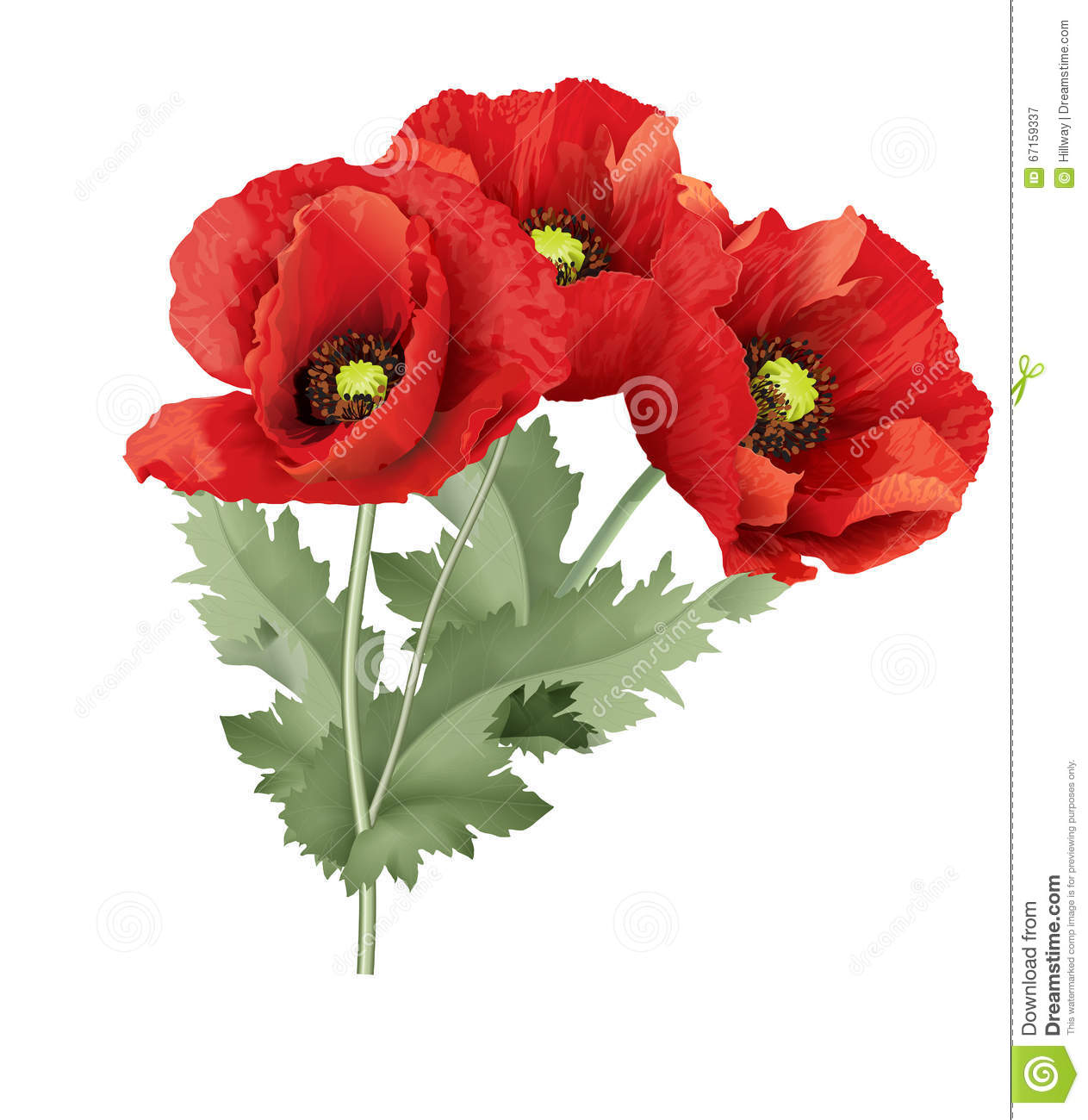 Three Red Poppy Flower With Green Leaves Stock Vector