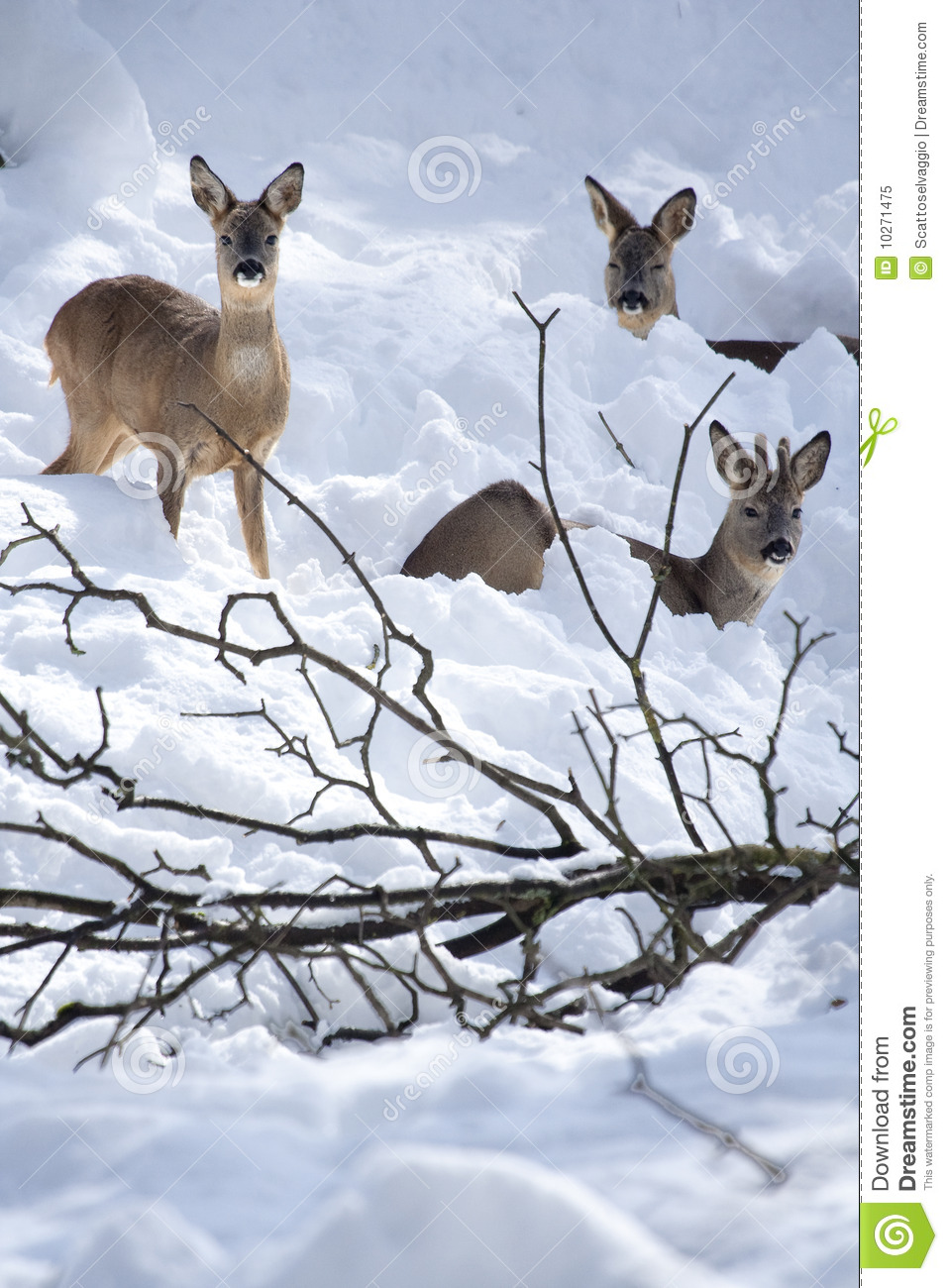 Three Roe Deers (Capreolus capreolus) in the snow, one male, two females.