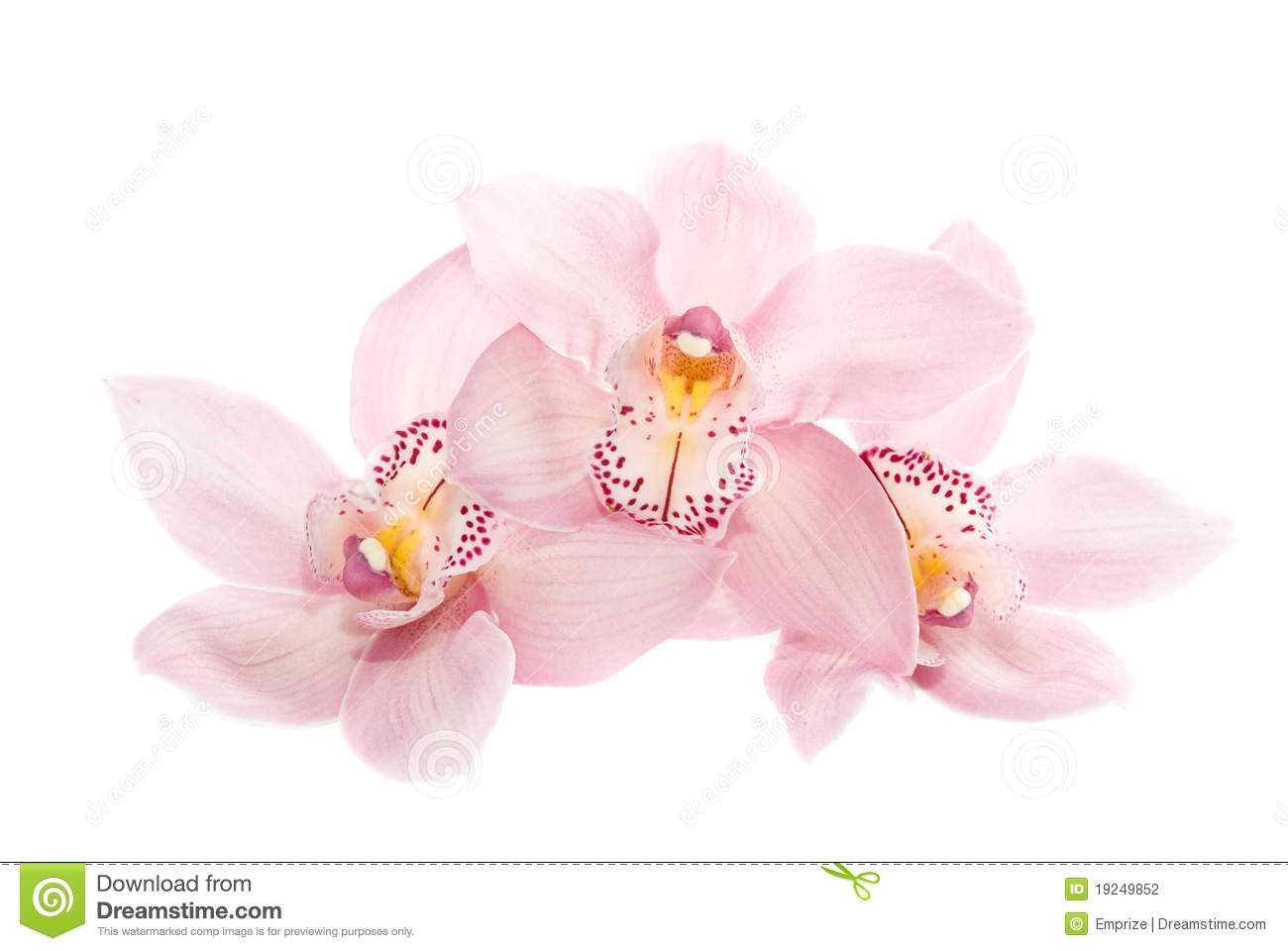 Three Rosy Orchids Isolated On White Background Stock Photography ...