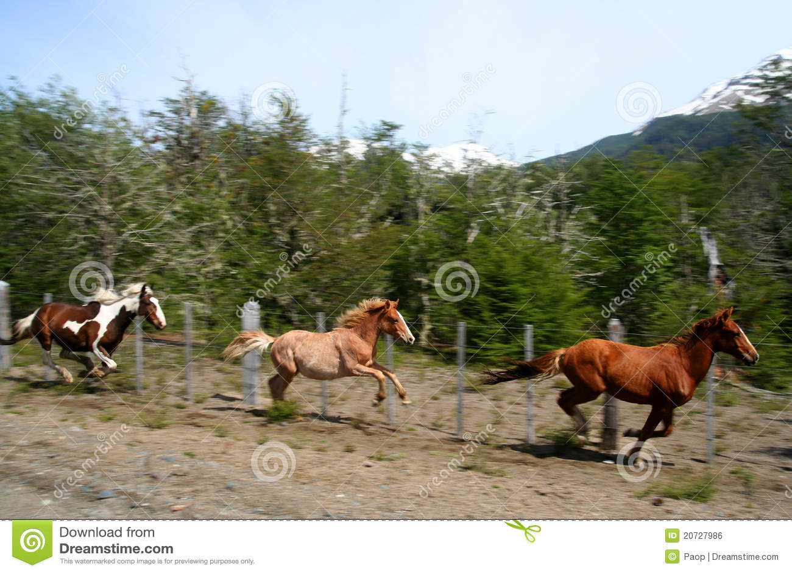 Three Running Horses Royalty Free Stock Image Image