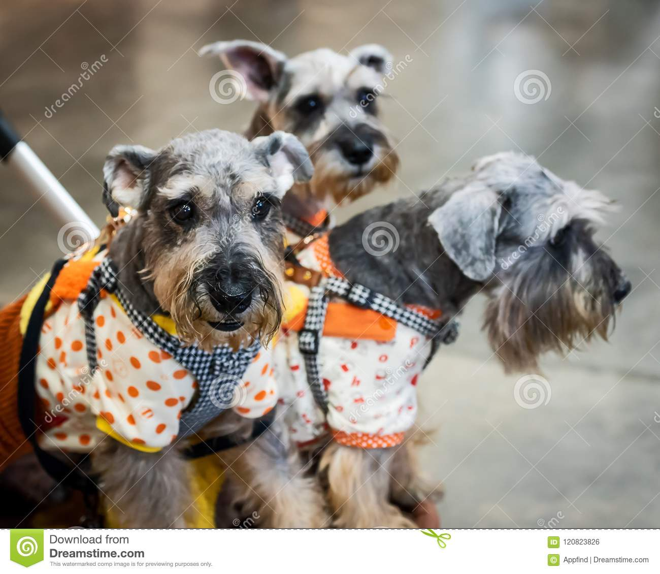 Three Schnauzer Dog In Trolley  Stock Photo - Image of happy, basket