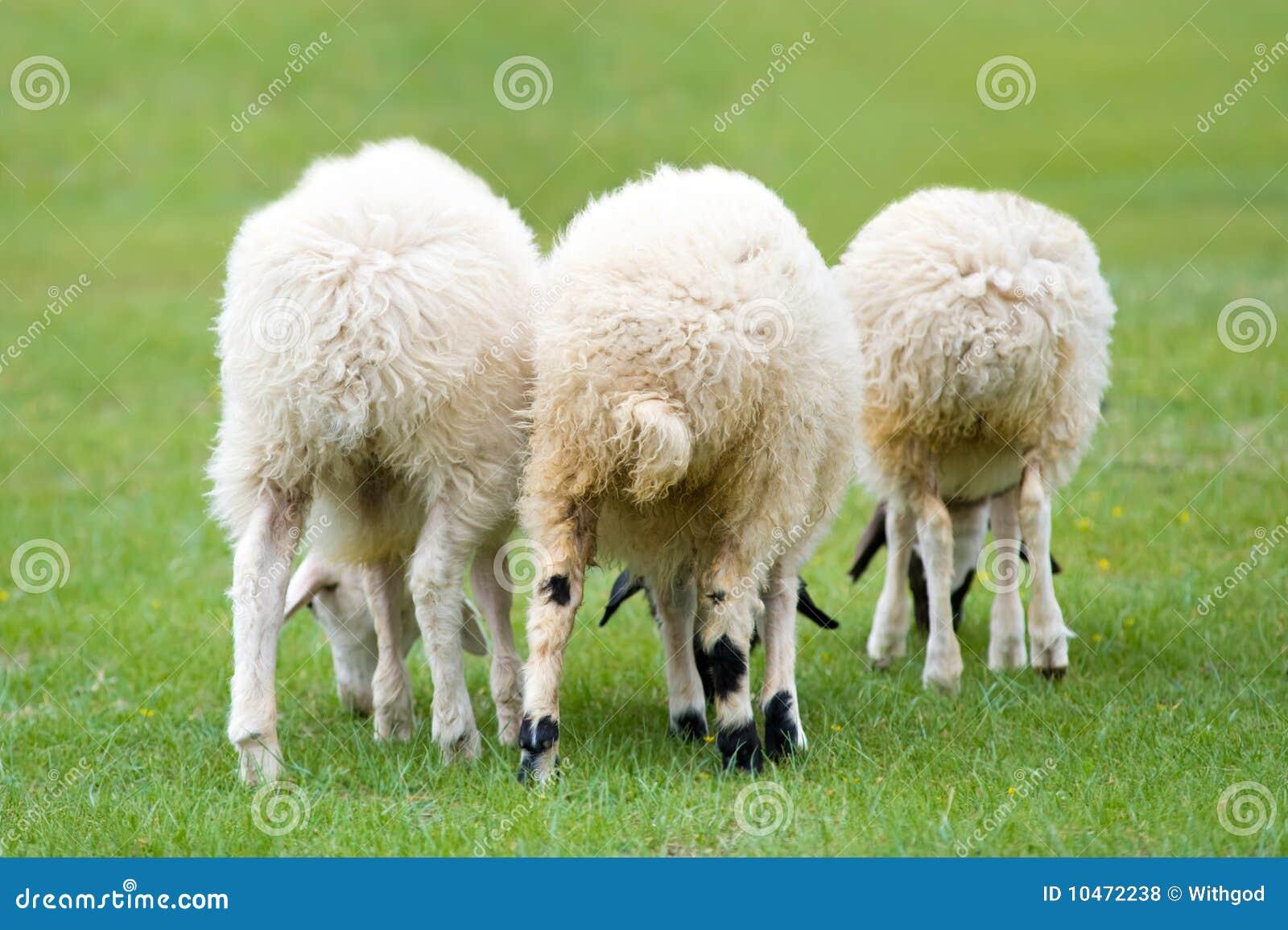 Three sheep - photo#25