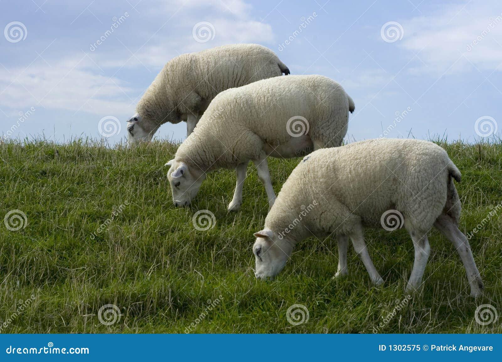 Three sheep - photo#21
