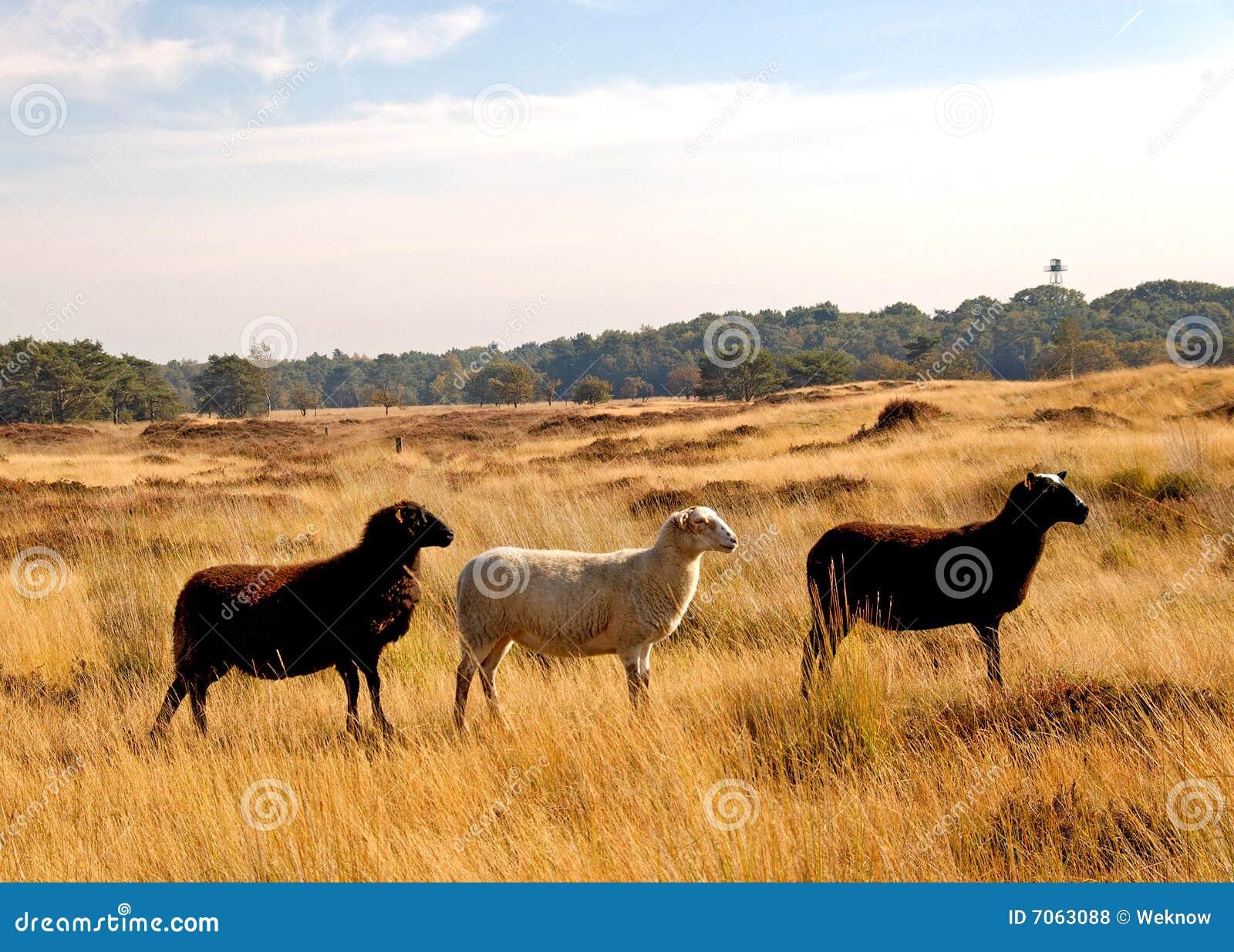 Three sheep - photo#17