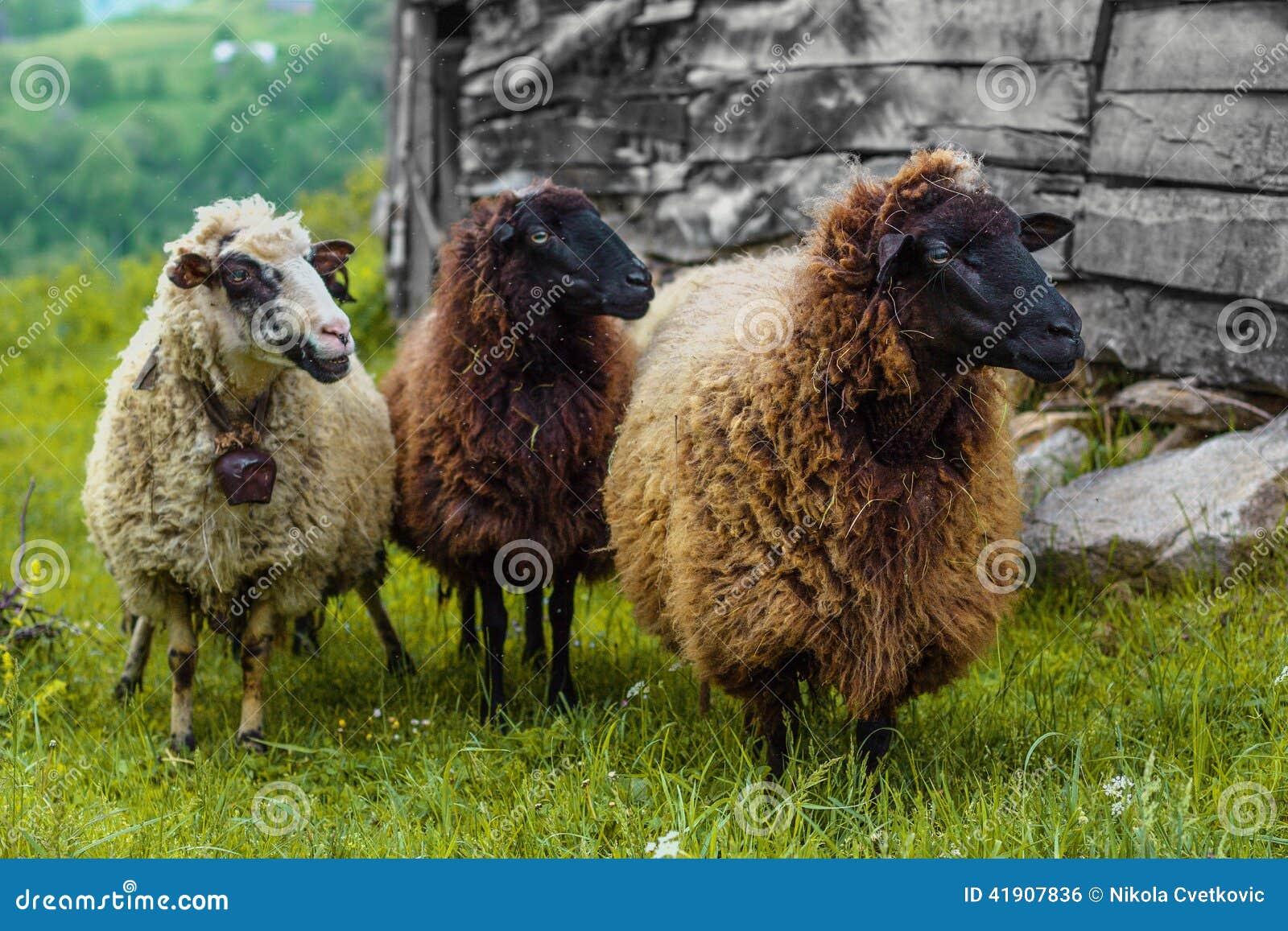 Three sheep - photo#14