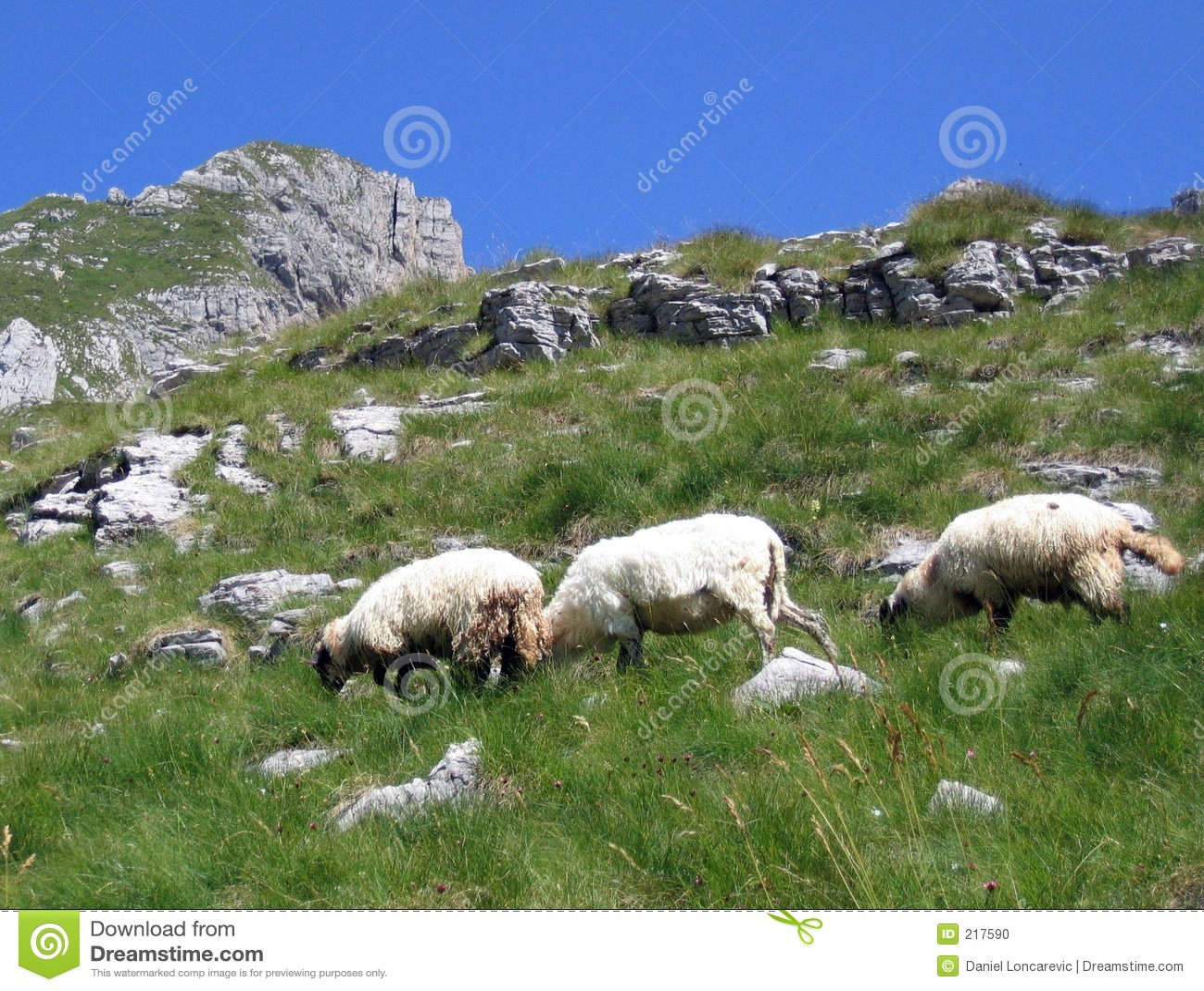 Three sheep - photo#24