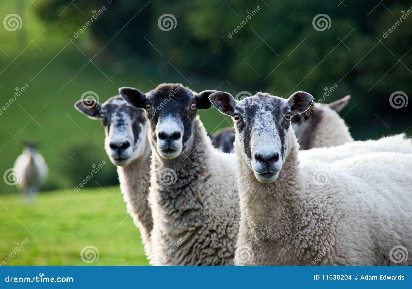 Three sheep - photo#7