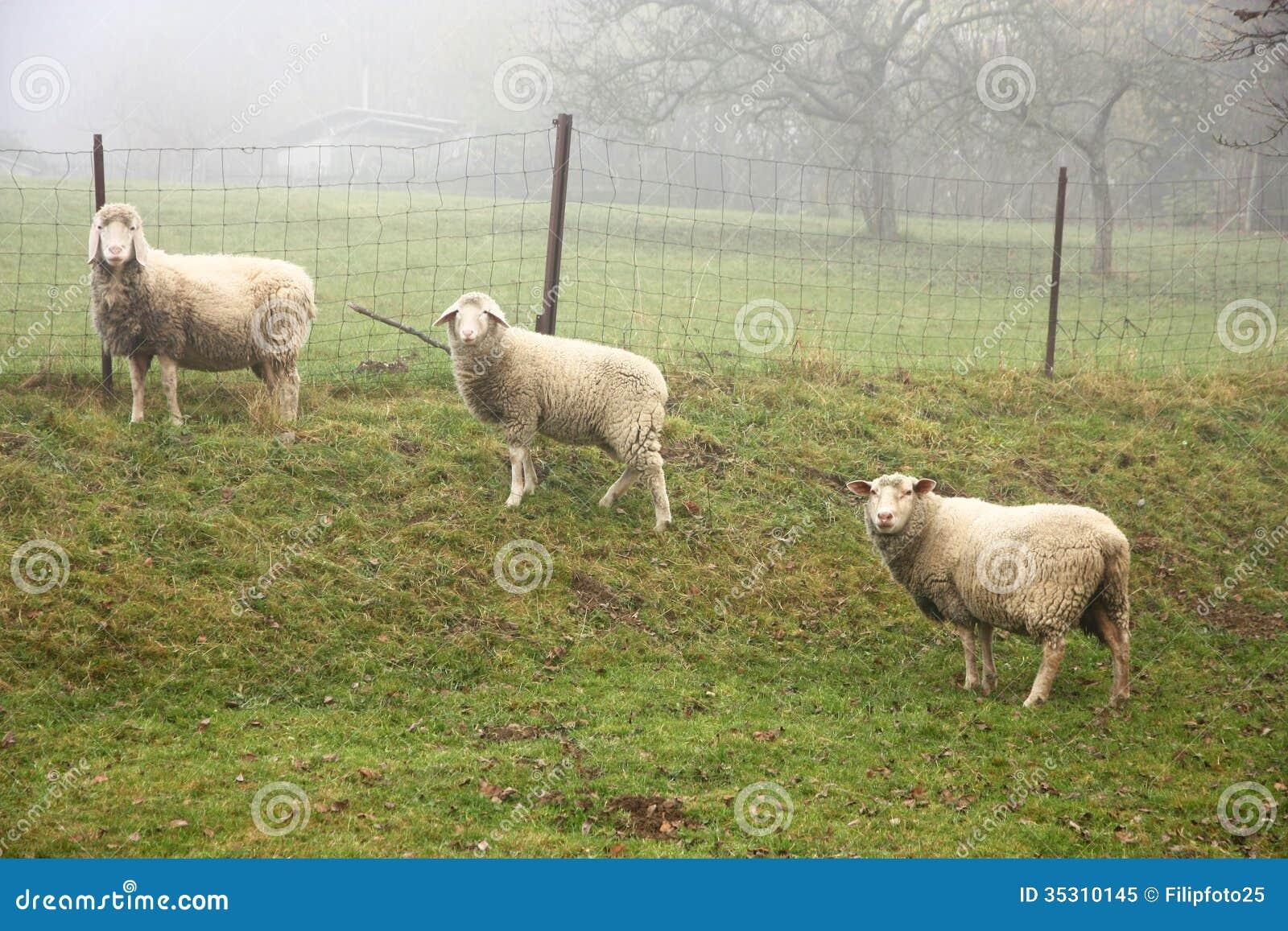 Three sheep - photo#16