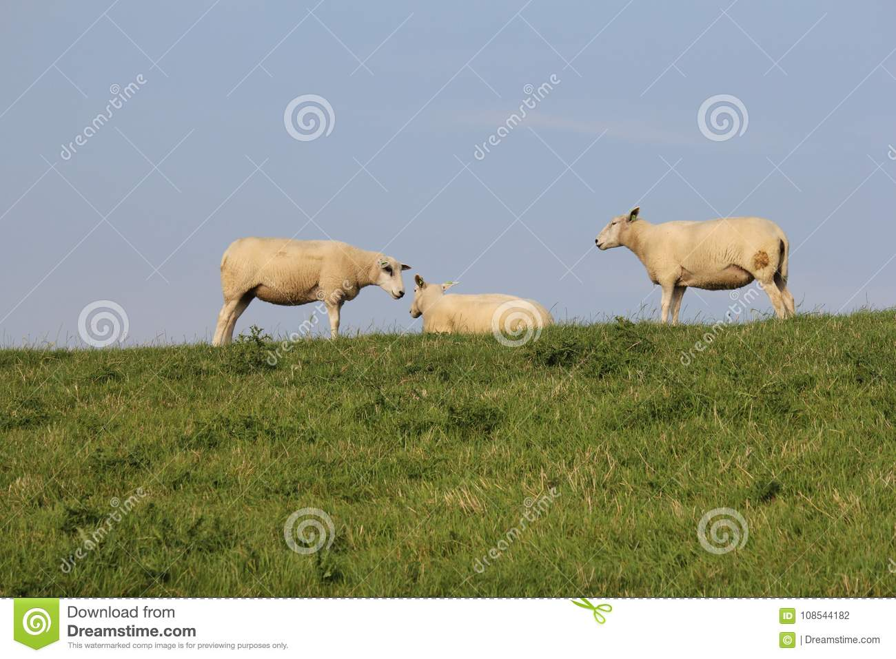 Three sheep together at a green in summer